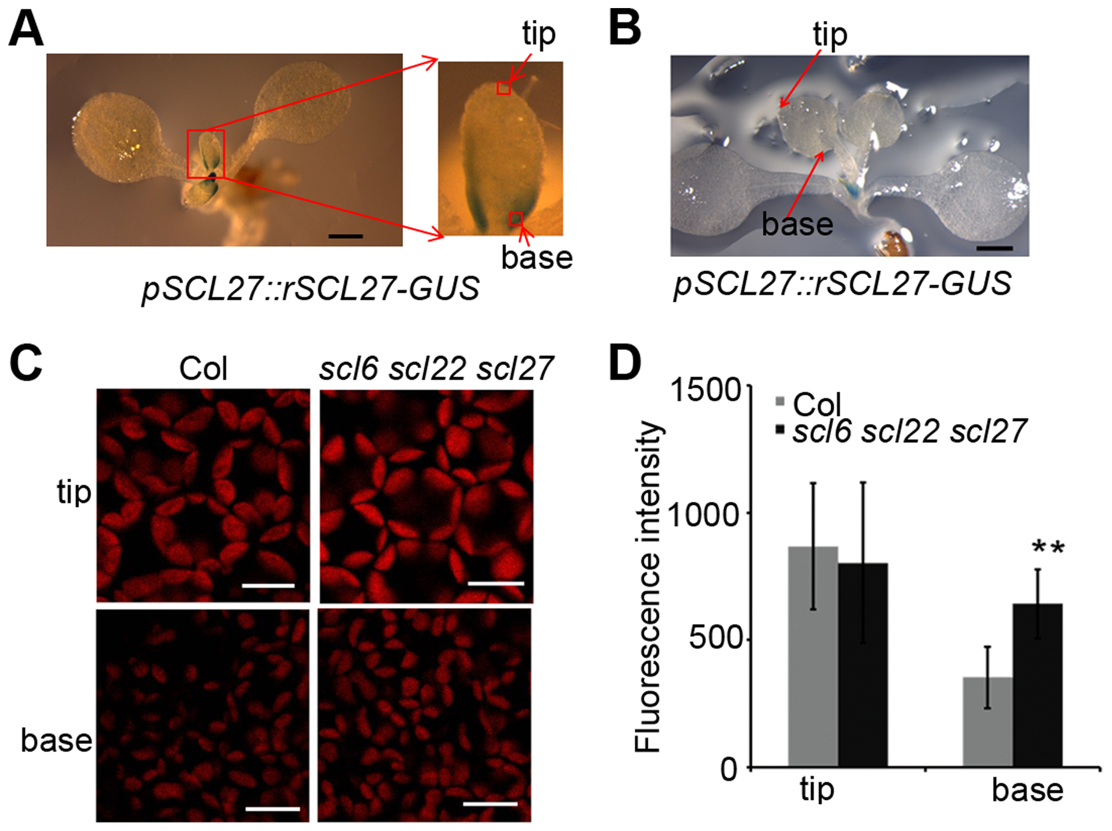 SCL-GUS accumulation and chlorophyll fluorescence intensity at the early stage of leaf growth.