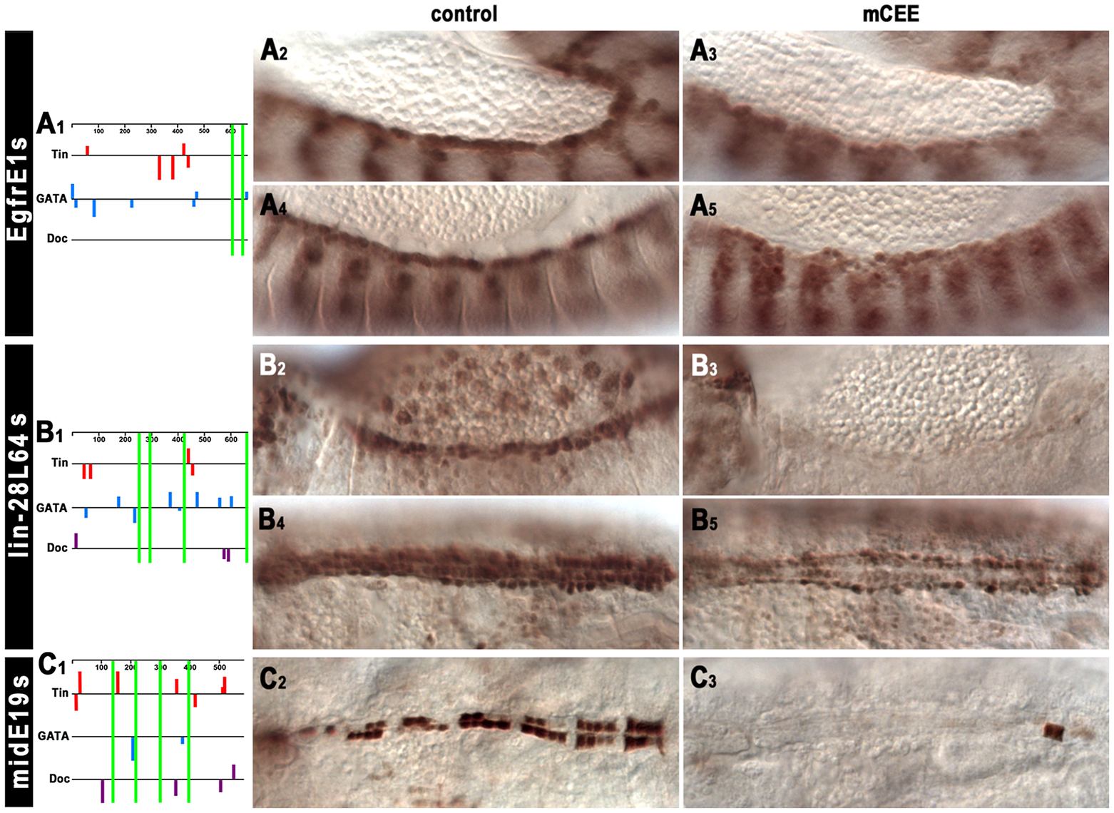 <i>In vivo</i> assays of the function of the CEE motifs in selected cardiac enhancers.