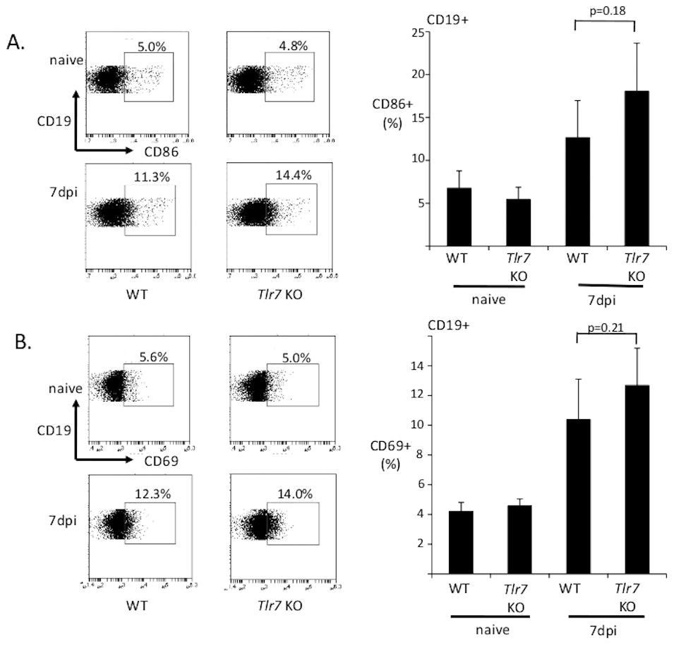 B cells upregulate CD86 and CD69 independently of TLR7.