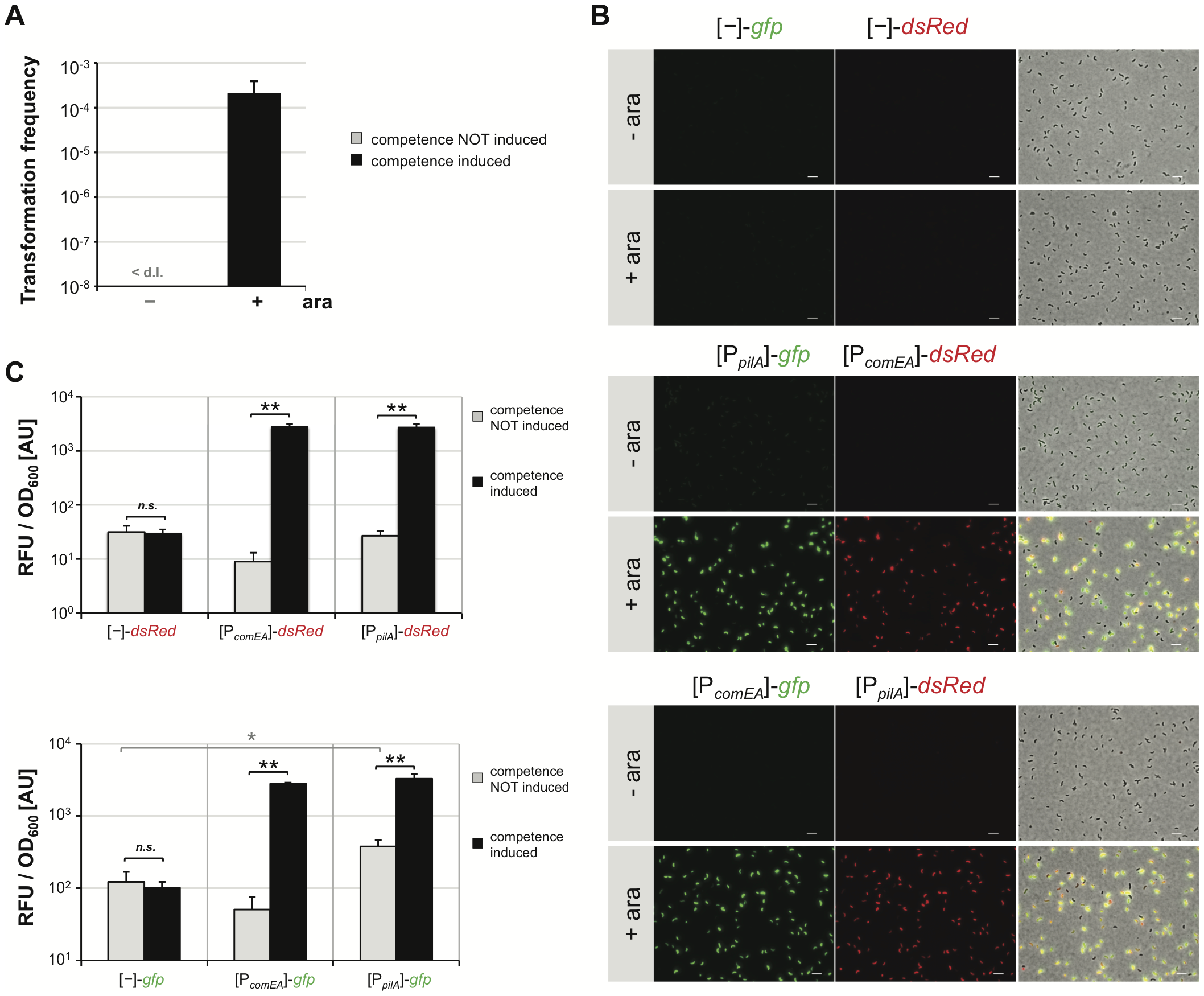 Artificial induction of natural transformation by expression of the competence regulatory gene <i>tfoX in cis</i>.