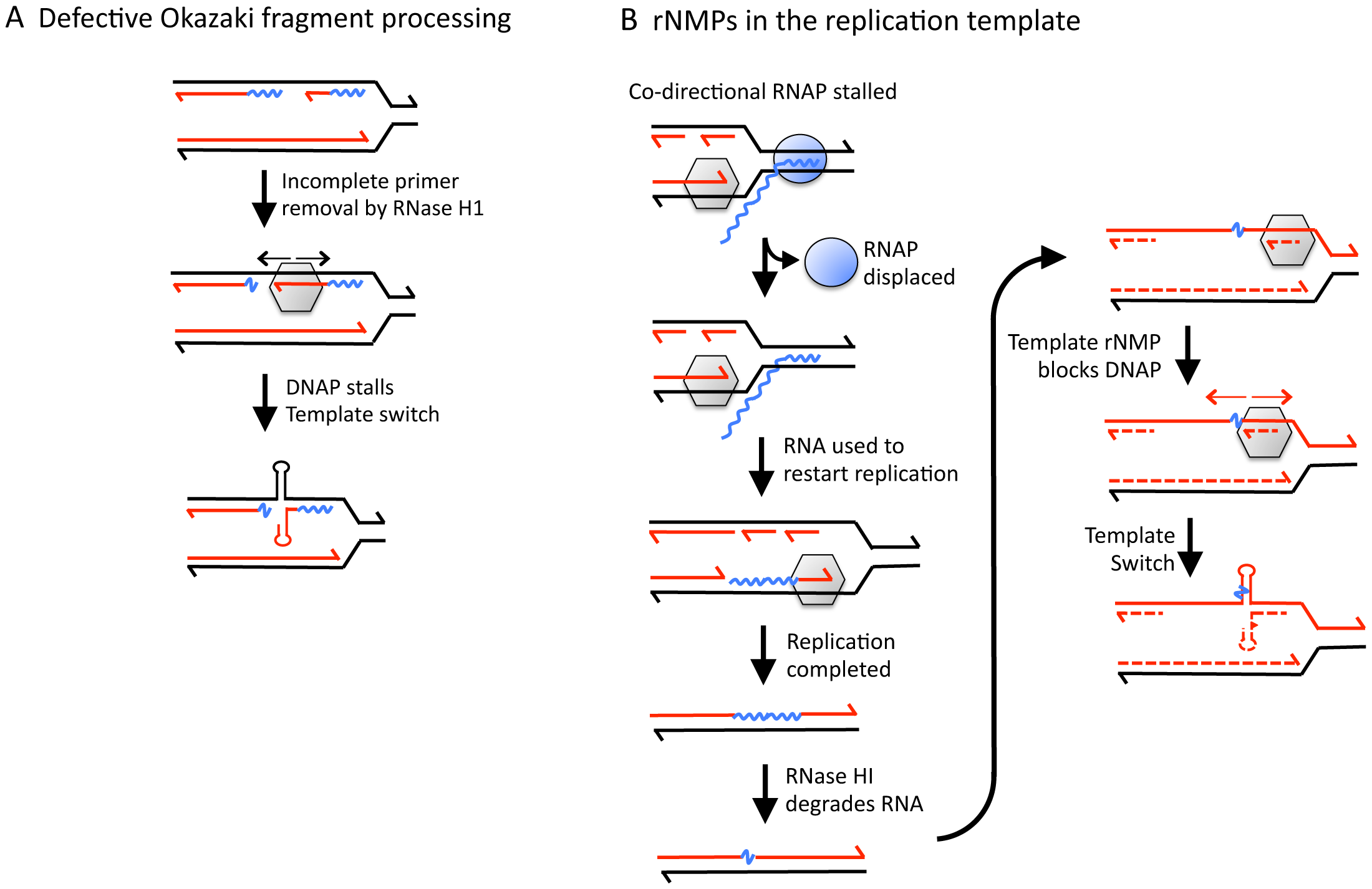 Models for generating rNMP-dependent QP mutations.