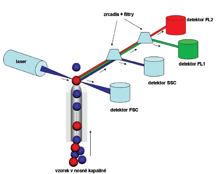 Zjednodušené schéma průtokového cytometru. Analyzovaná buněčná suspenze je unášena tzv. nosnou kapalinou, kterou je modifikovaný fyziologický roztok, k ideální pozici vzhledem k senzorům. Poloha jednotlivých částic je kontrolována hydrodynamickou fokusací nosné kapaliny. Do laminárně proudící nosné kapaliny je vstřikován vzorek tak, aby měřícím bodem procházela v okamžiku analýzy právě jedna buňka. Když se analyzovaná částice potká s laserovým paprskem, dochází k odrazu světla v přímém úhlu (signál je zachycen FSC detektorem, udává informace o velikosti buněk), k lomu světelného paprsku pod úhlem 90° (signál je zachycen SSC detektorem, lom světla je ovlivněn hlavně granularitou částic a členitostí buněčného jádra) a pokud jsou na buňkách navázány fluorescenčně značené protilátky, po excitaci fluorochromů dojde k emisi světla o příslušných délkách, které jsou zaznamenávány do detektorů odpovídajících fluorescencí (na schématu detektor FL1 a FL2 fluorescence). Počet detektorů fluorescence závisí na výbavě průtokového cytometru. Díky sběrné optice (systém zrcadel a filtrů) je usměrněno světlo různých vlnových délek na příslušné detektory.