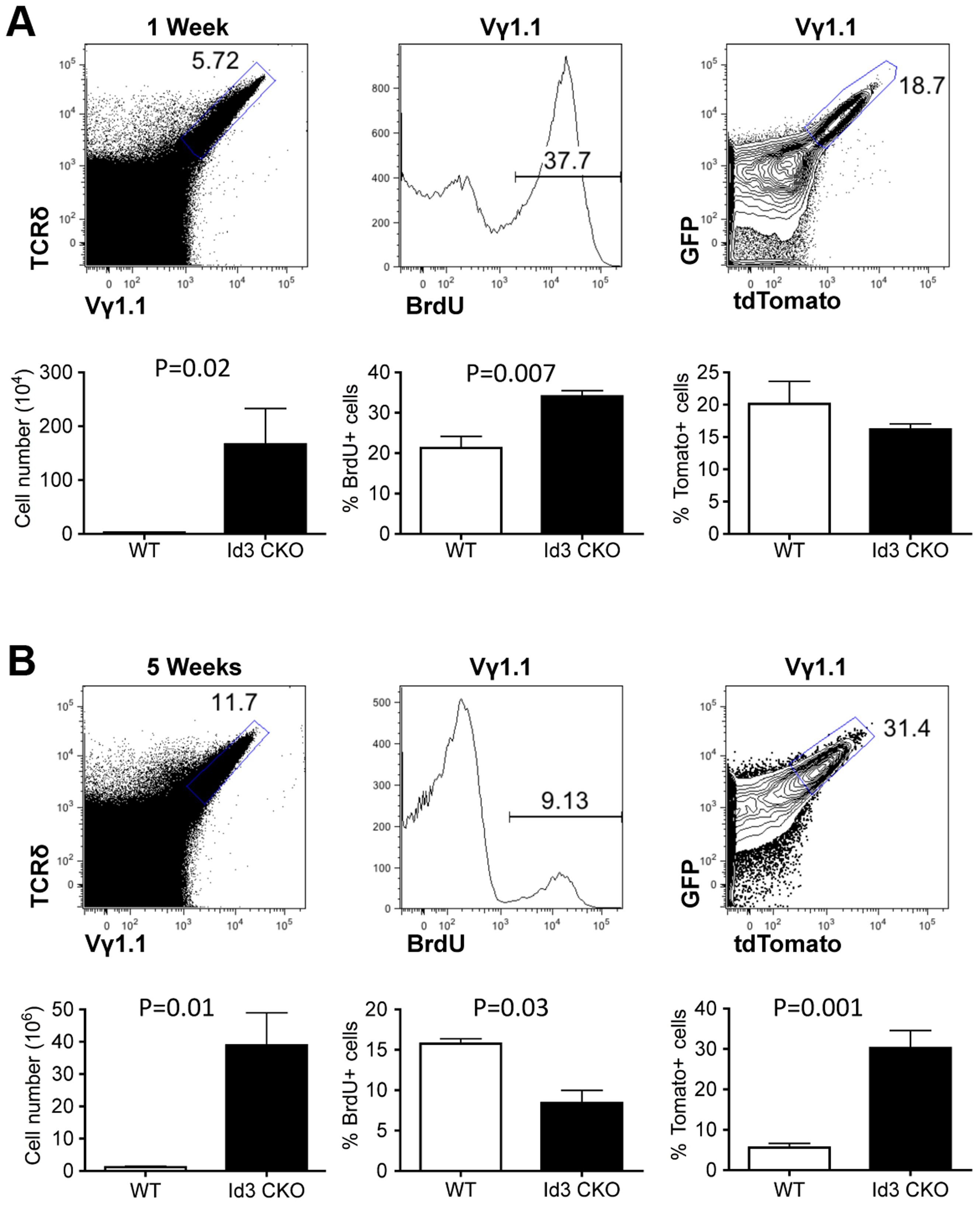 Assessing proliferation frequency and history of Vγ1.1 T cells on <i>Id3</i> deficient background.