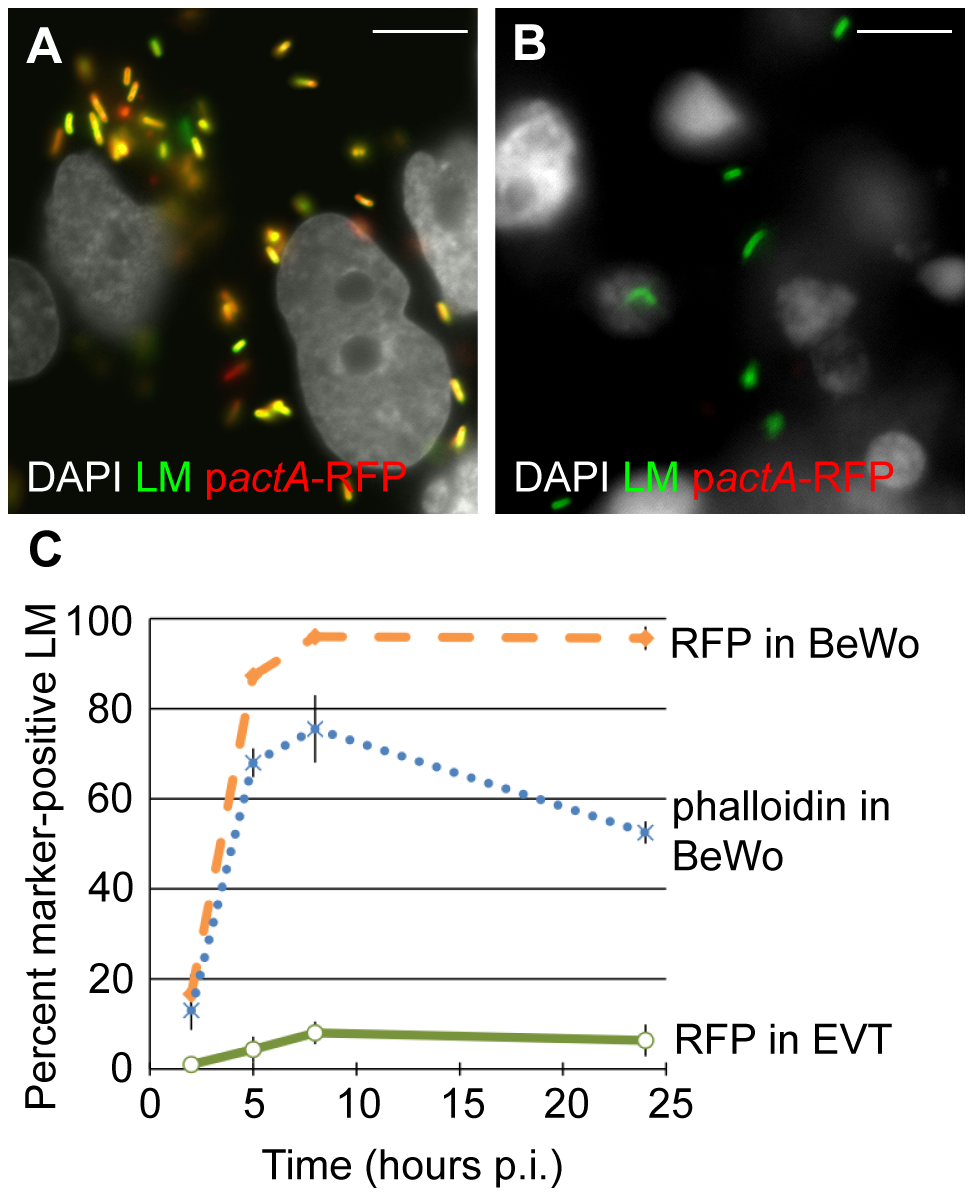 Vacuolar escape of <i>L. monocytogenes</i> (LM) is strongly impaired in EVT.