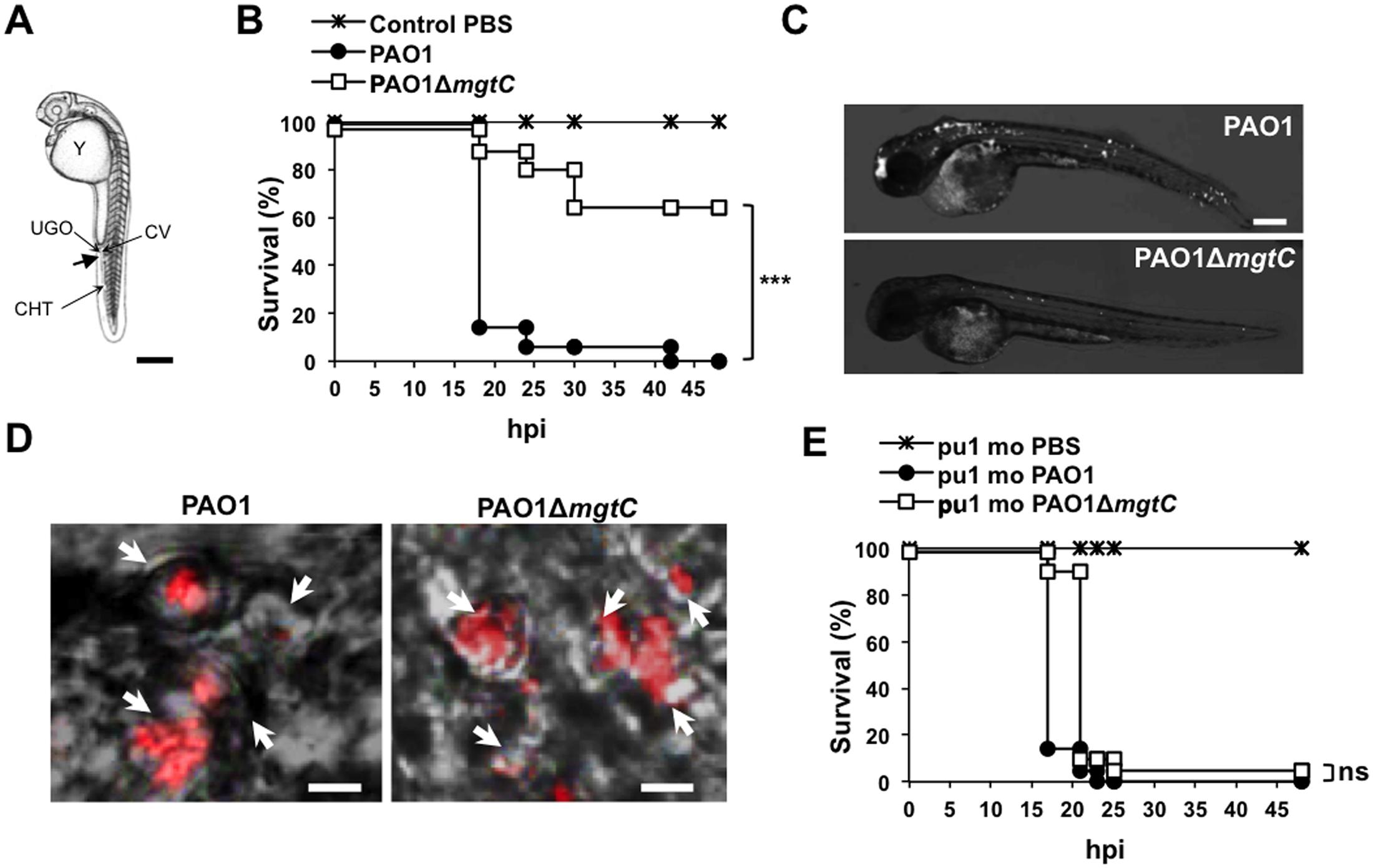Infection of zebrafish embryos with the <i>P</i>. <i>aeruginosa mgtC</i> mutant.