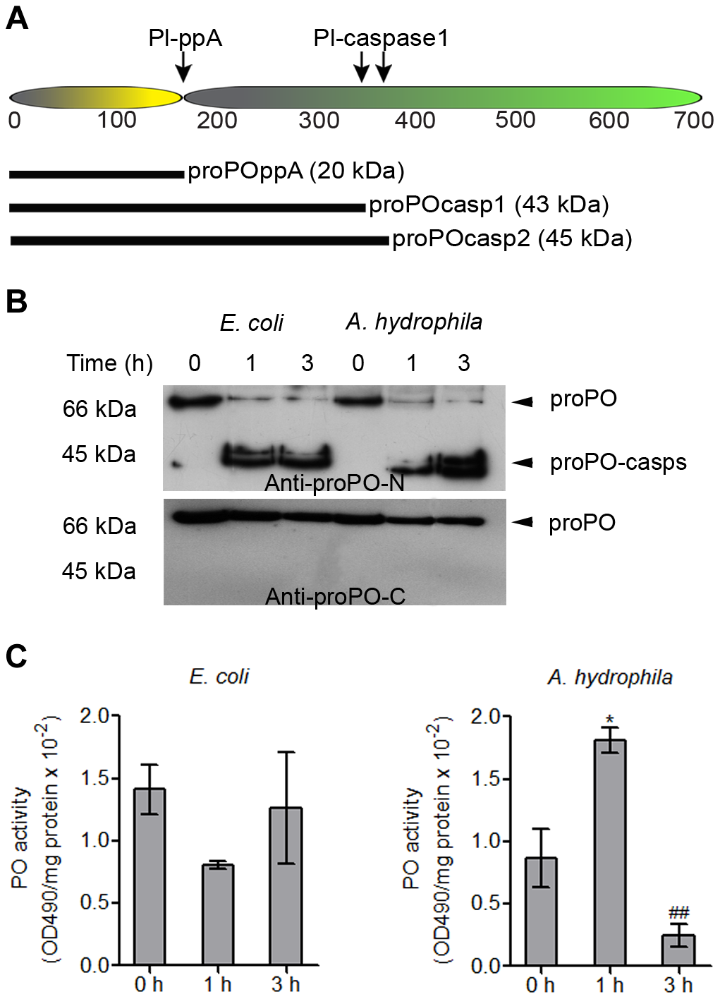 Cleavage site of caspase-1-like protein and the presence of proPO-casp fragments in plasma and the plasma PO activity after bacterial injection.