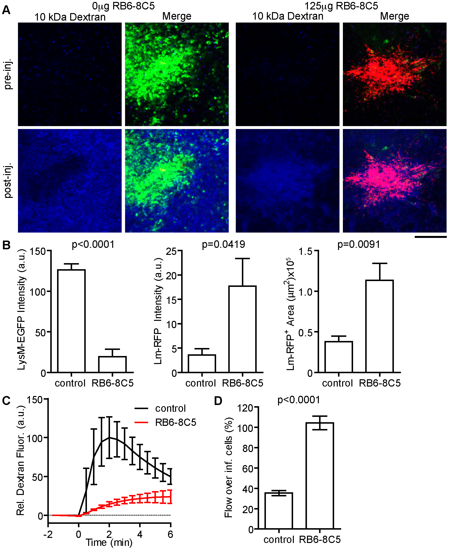 Neutrophils restrict local <i>Lm</i> growth and blood flow over infected cells.
