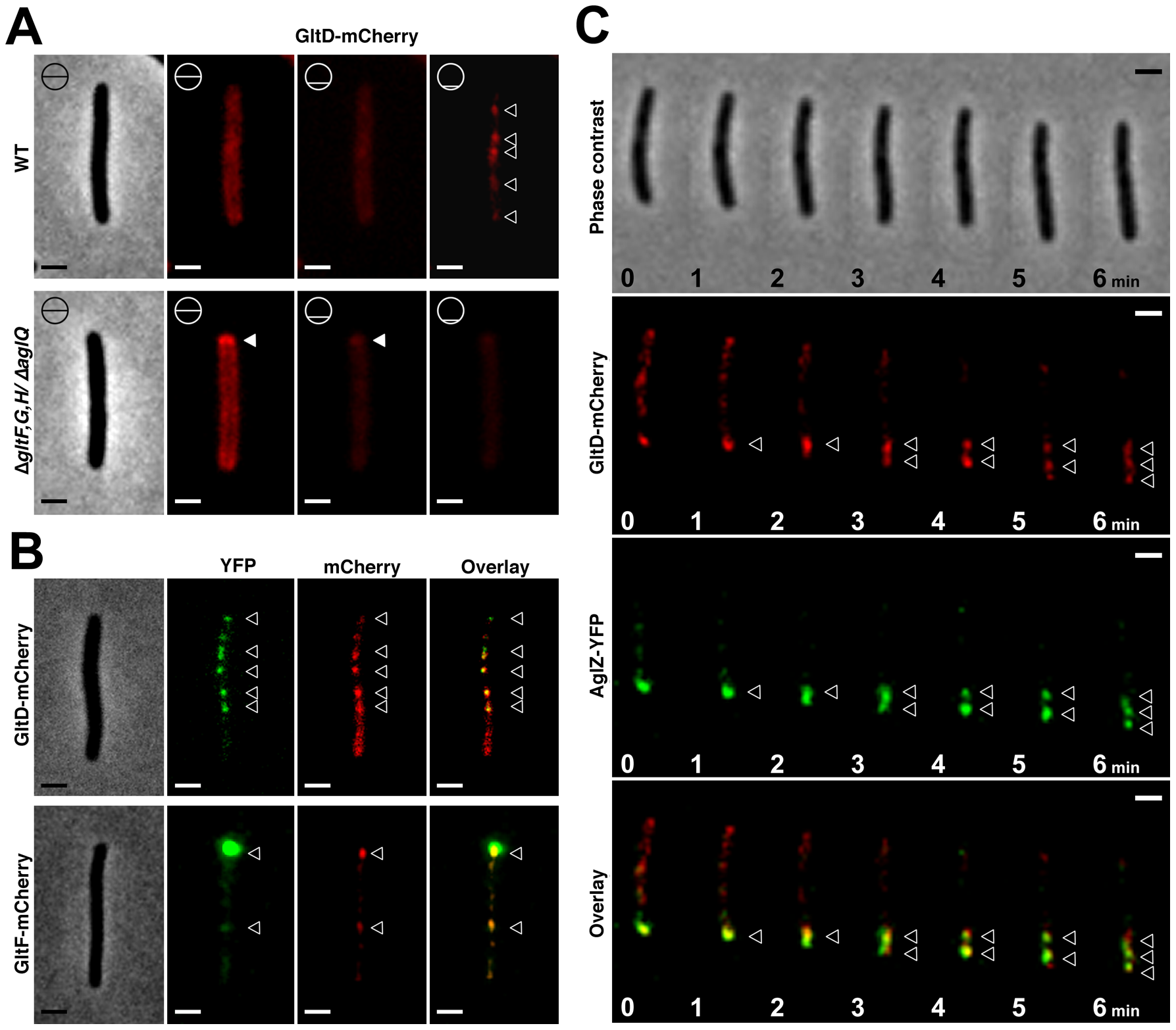 The Glt proteins localize dynamically to the AglZ-YFP clusters in a AglQ-dependent manner.