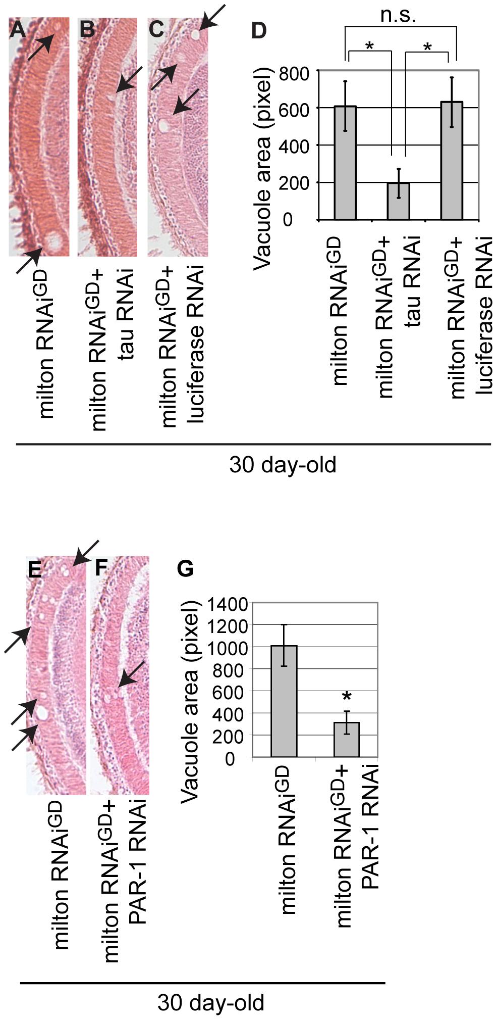RNAi–mediated knockdown of <i>Drosophila</i> tau or PAR-1 suppresses milton knockdown-induced neurodegeneration.