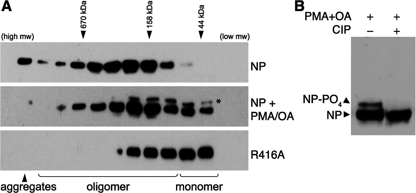 Phosphorylation disrupts self-association of NP.