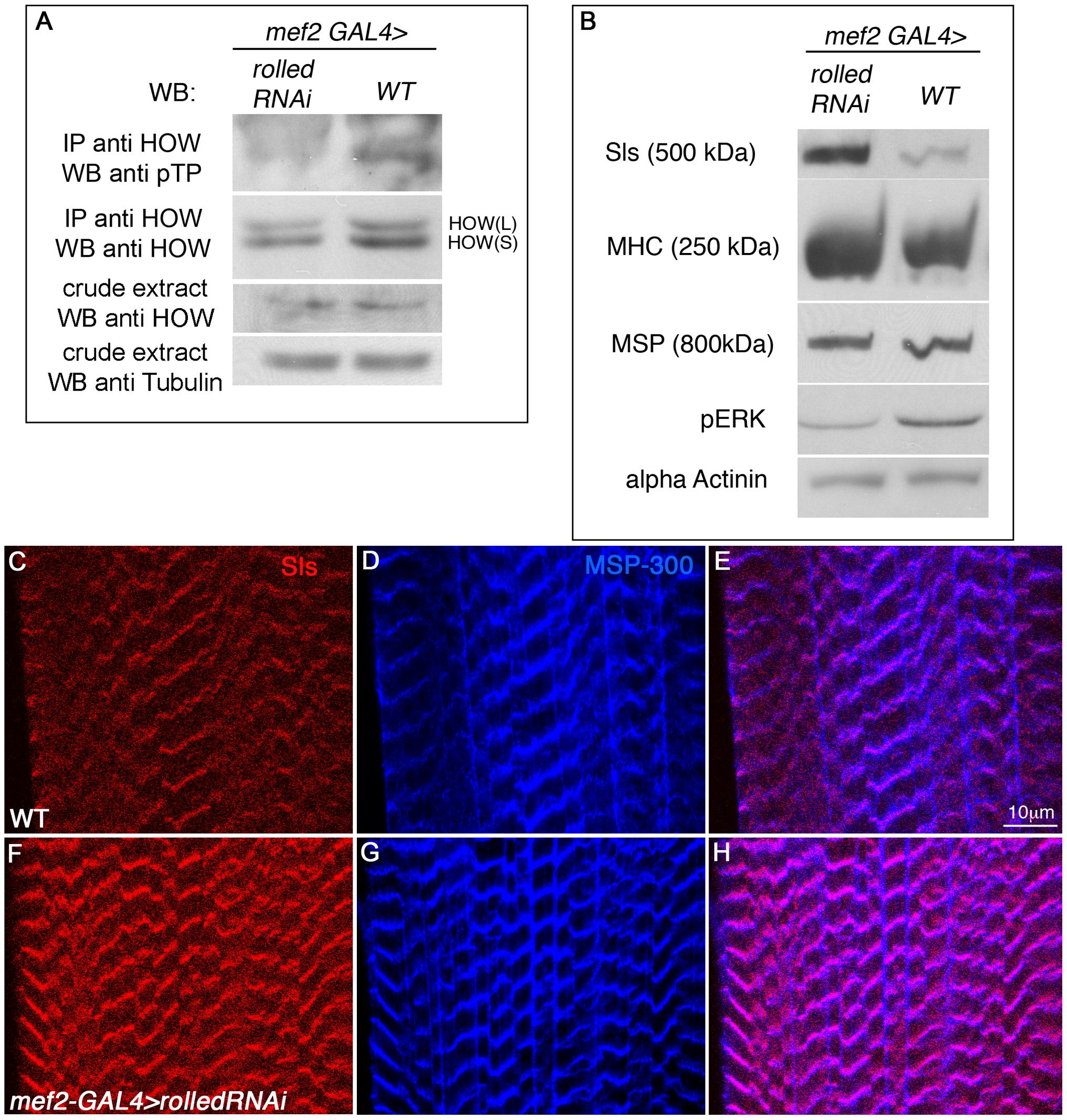 <i>Drosophila</i> MAPK <i>rolled</i> is directing HOW phosphorylation in muscles and regulation of Sallimus levels.