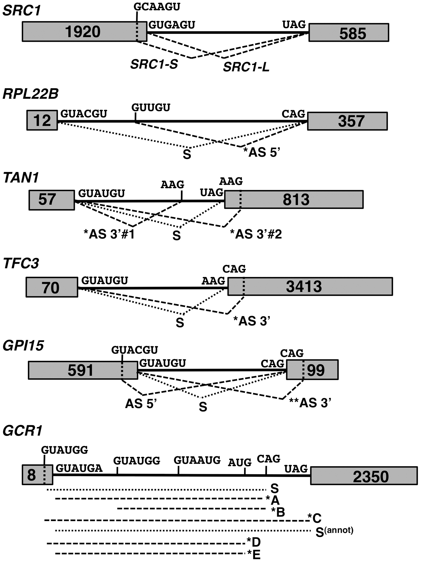 Spliced species produced from the <i>SRC1</i>, <i>RPL22B</i>, <i>TAN1</i>, <i>TFC3</i>, <i>GPI15</i> and <i>GCR1</i> genes.