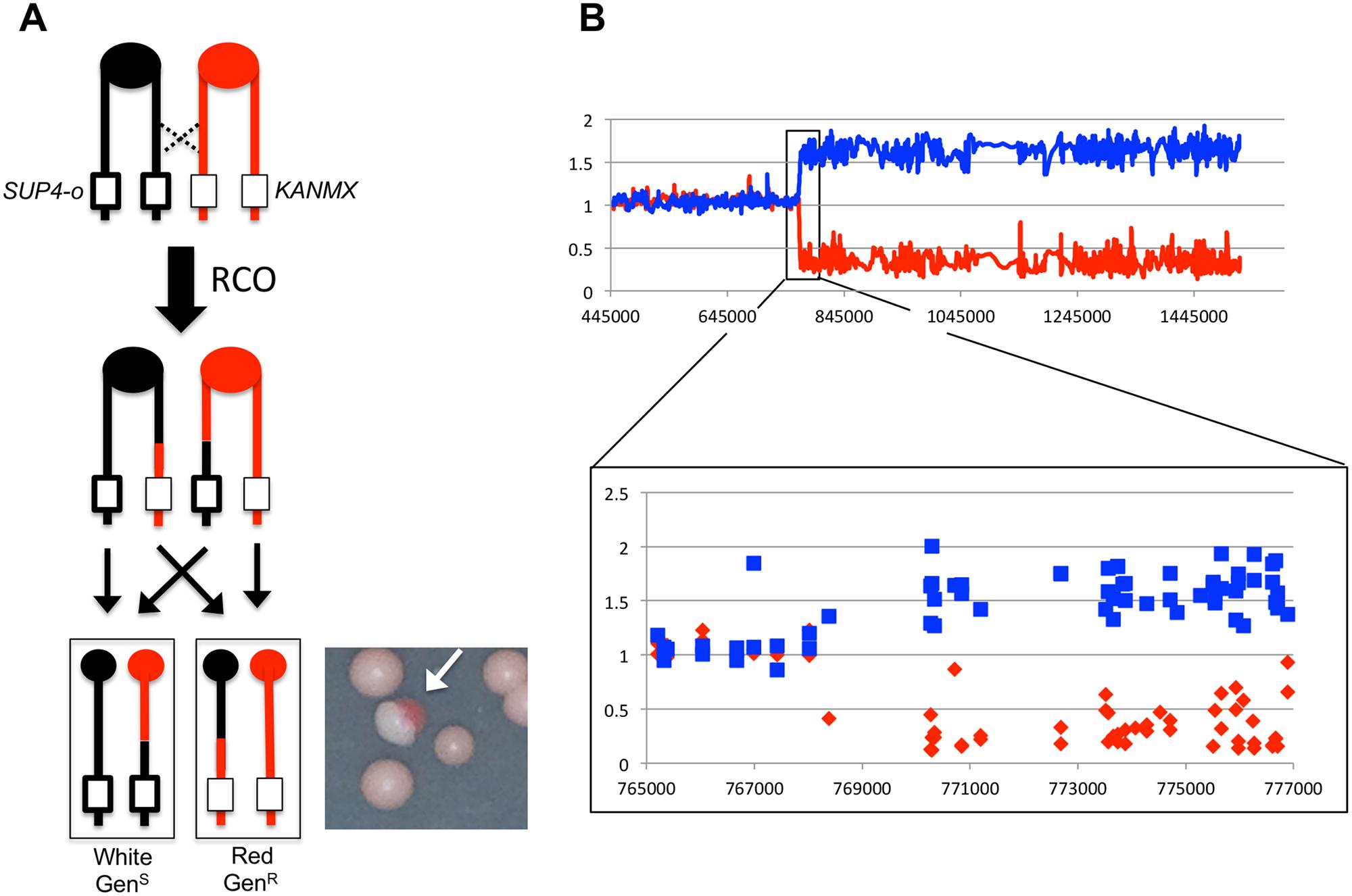 Detecting and characterizing RCOs on chromosome IV.