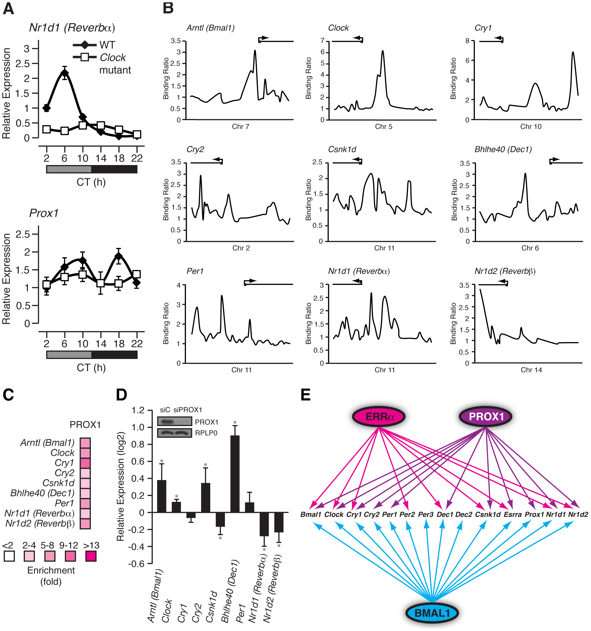 PROX1 is a regulator of the molecular clock that itself exhibits a rhythmic clock-dependent circadian expression.