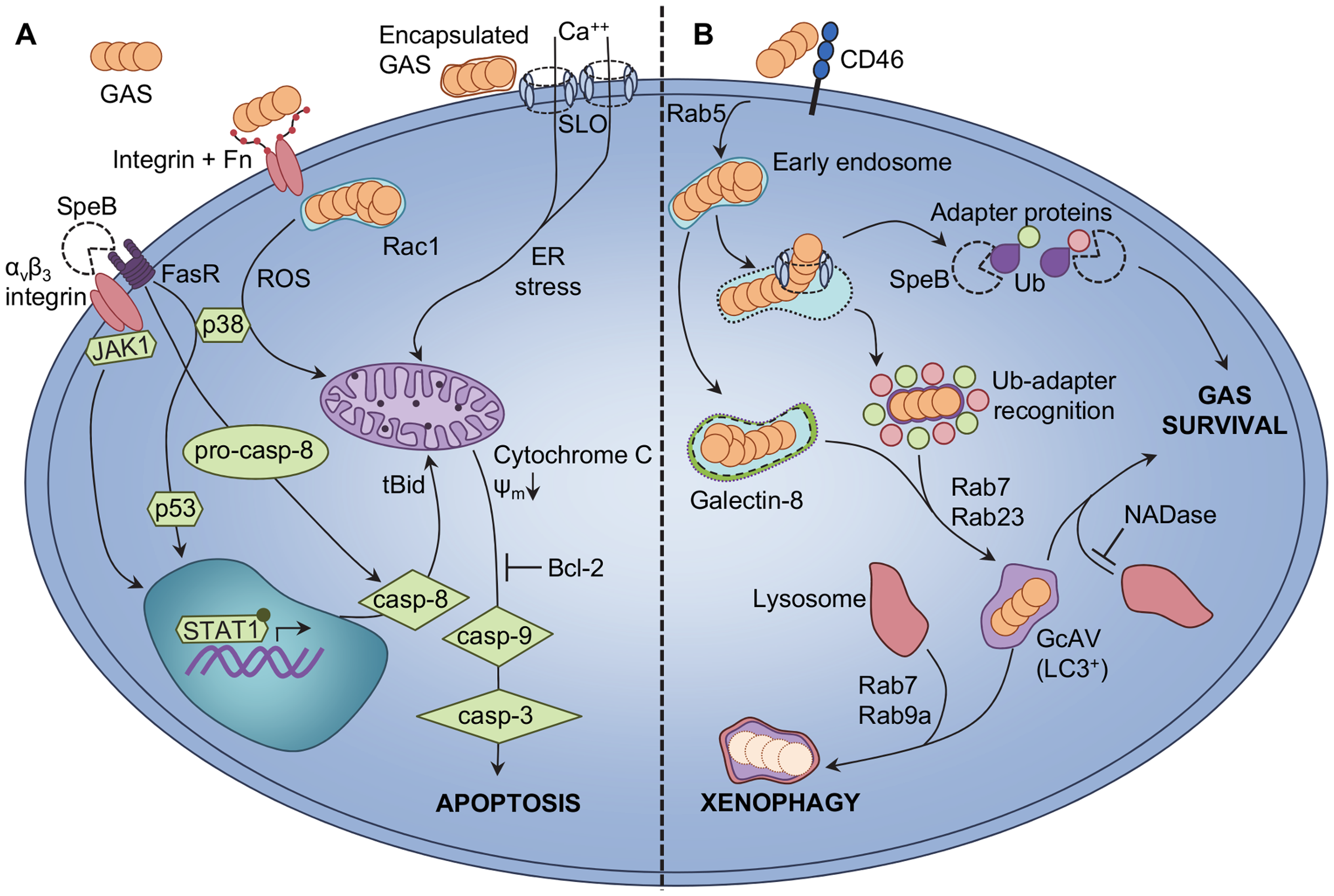 Epithelial cellular responses to GAS infection.
