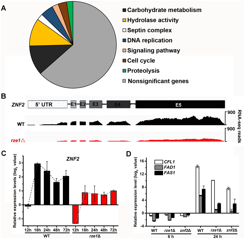 <i>RZE1</i> regulates the transcription of <i>ZNF2</i>.