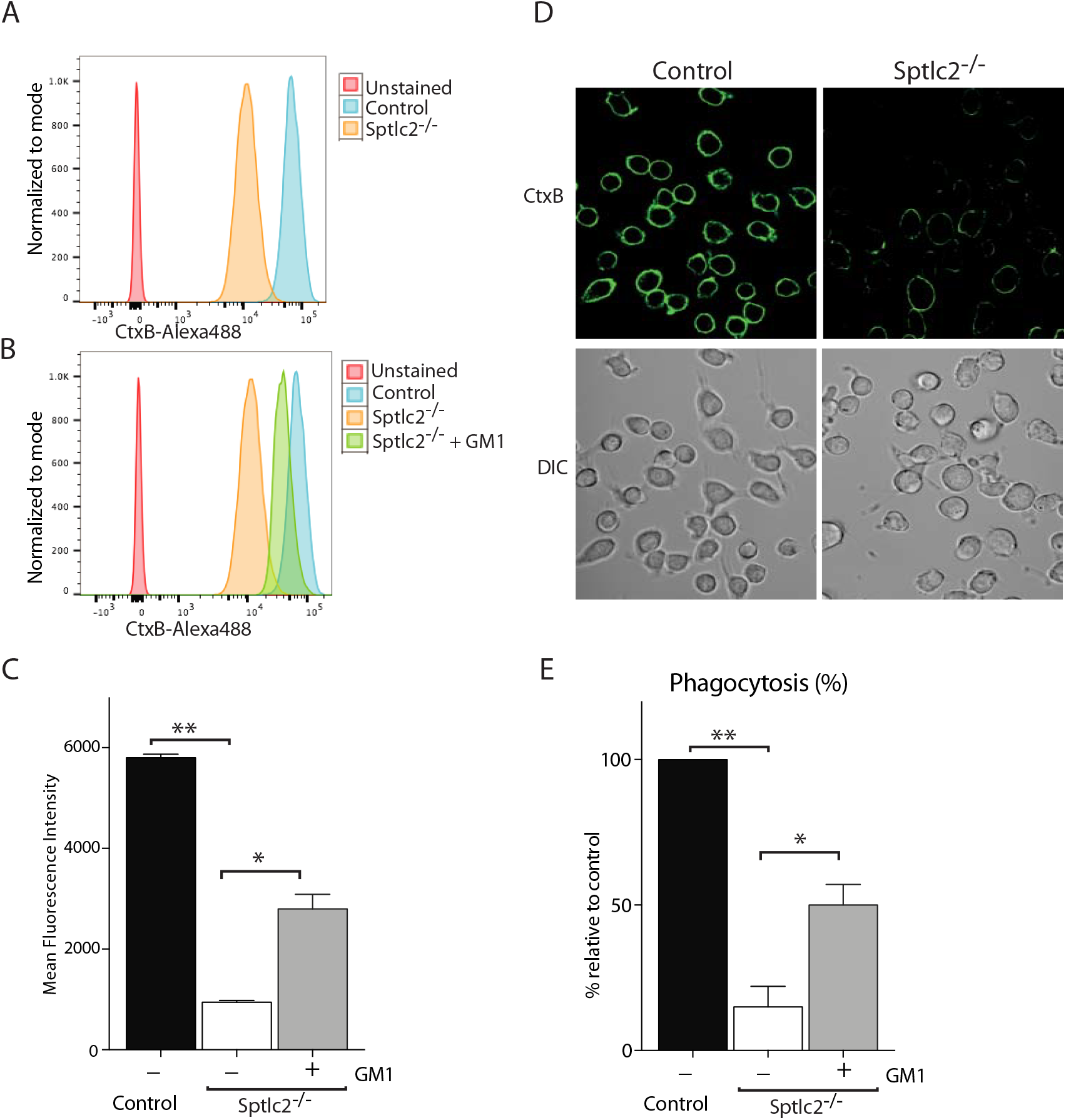 Exogenous addition of GM1 restores the phagocytic ability of Sptlc2<sup>-/-</sup> DC2.4 cells.