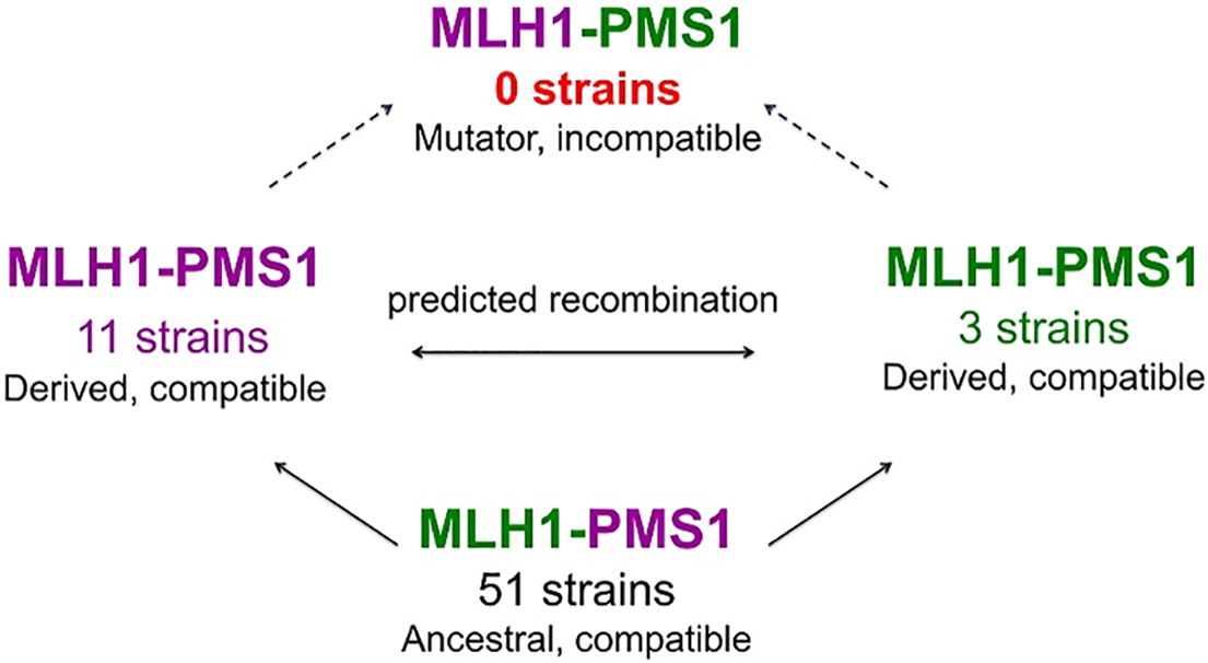 "A model for how MMR incompatible populations arise in nature [<em class=""ref"">22</em>,<em class=""ref"">27</em>]."