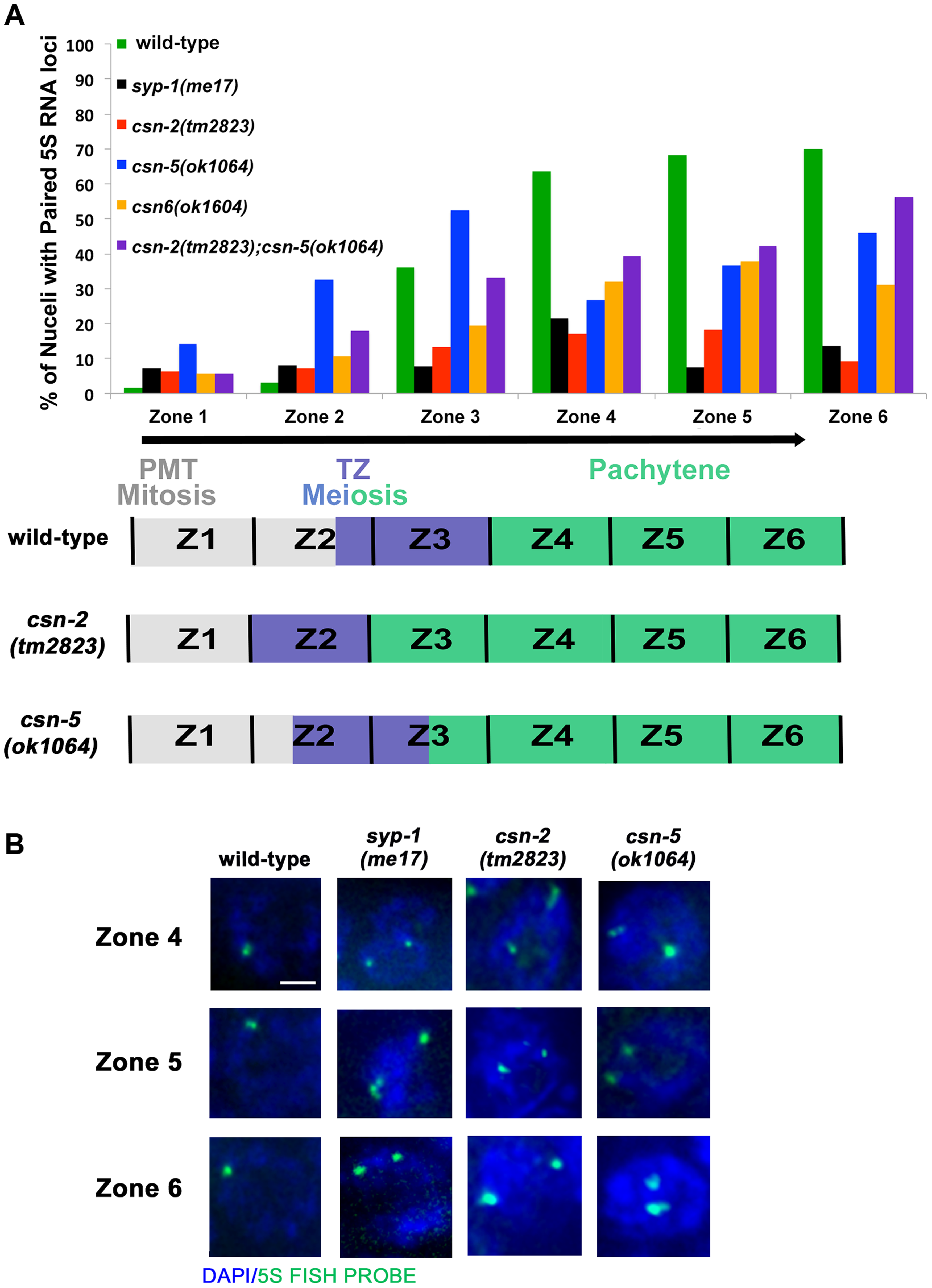 Pairing stabilization is affected in <i>csn</i> mutants.