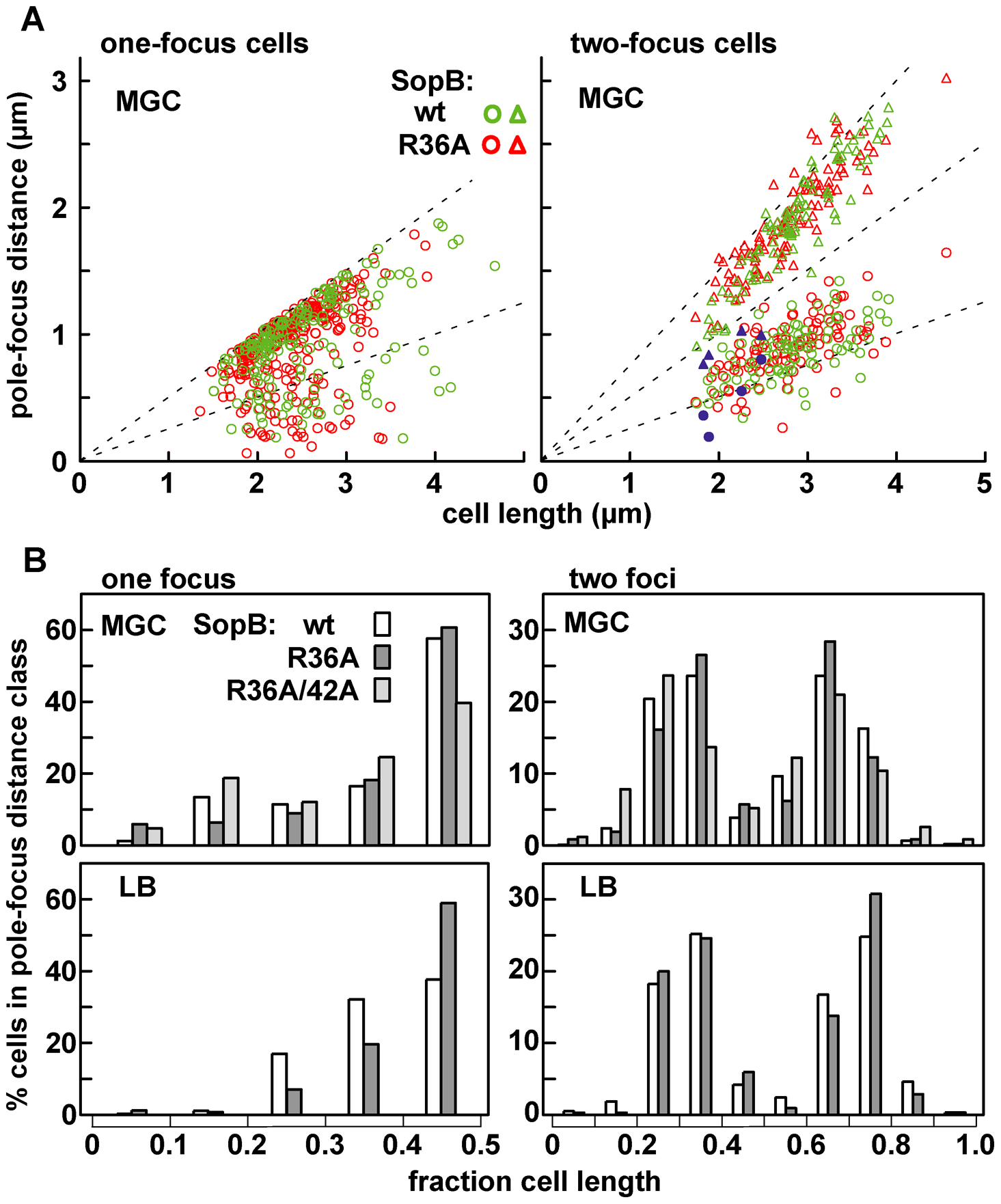 Limited effect of R36A mutation on mini-F positioning.