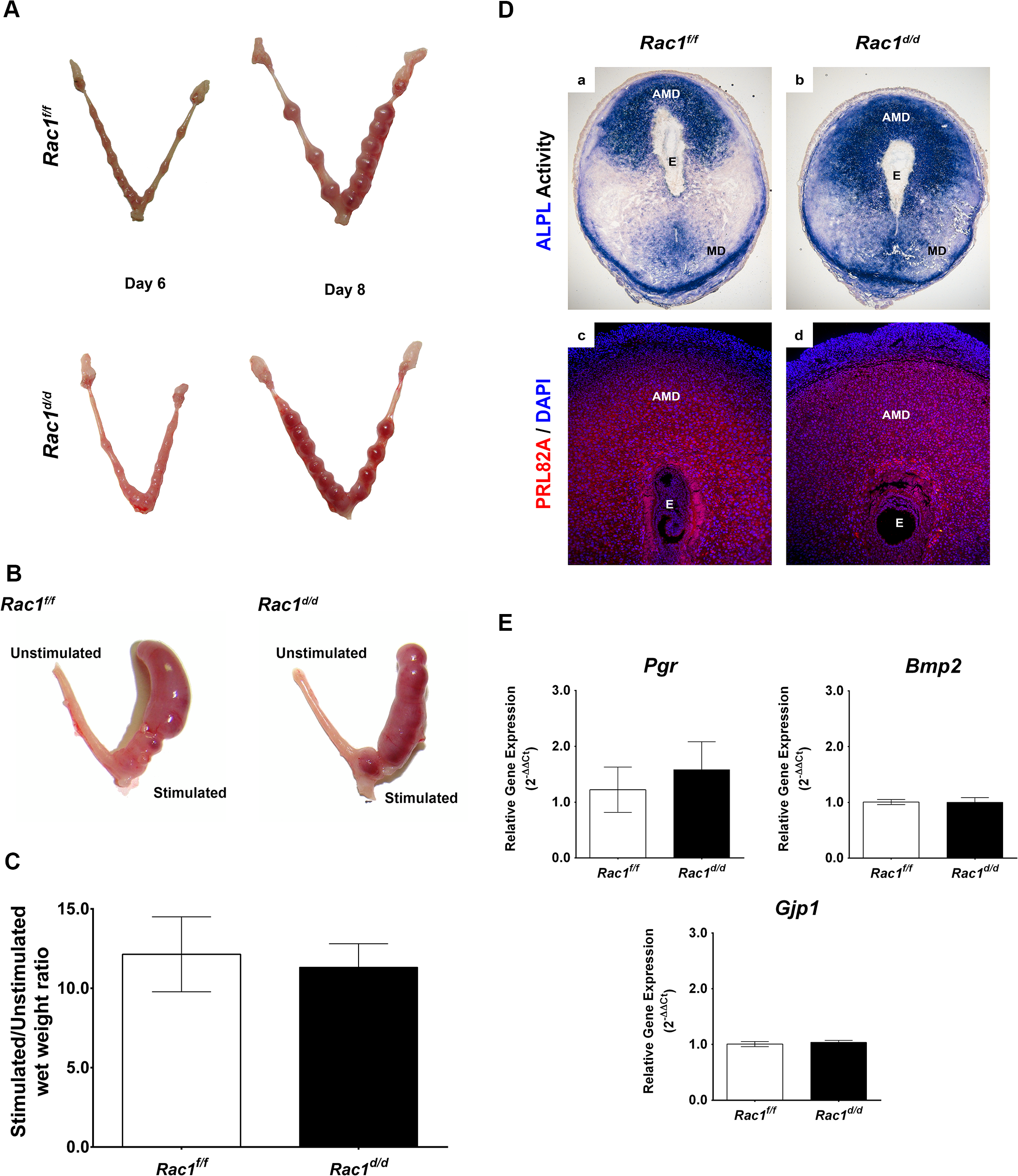 Early implantation is unaffected in <i>Rac1</i> conditional knockout mouse.