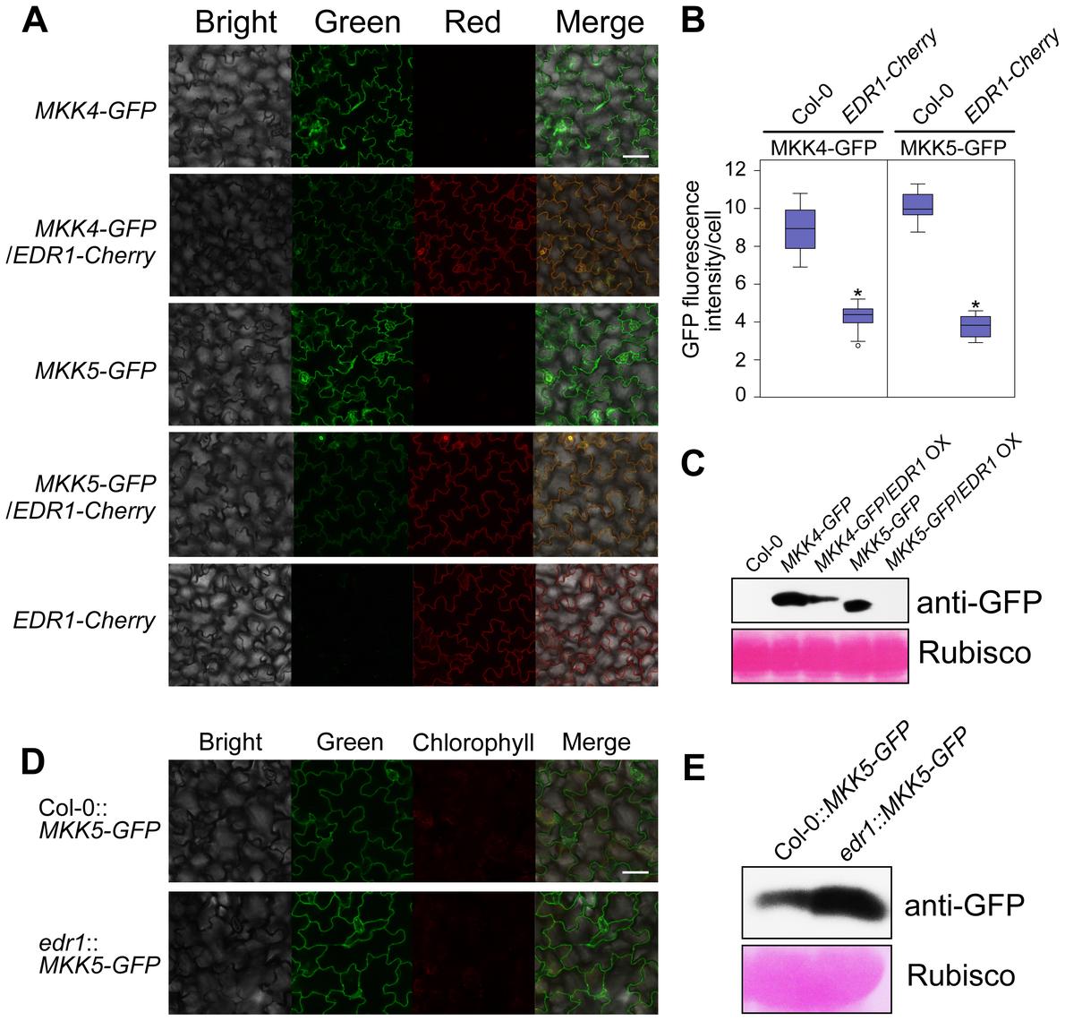 EDR1 regulates the protein levels of MKK4 and MKK5.