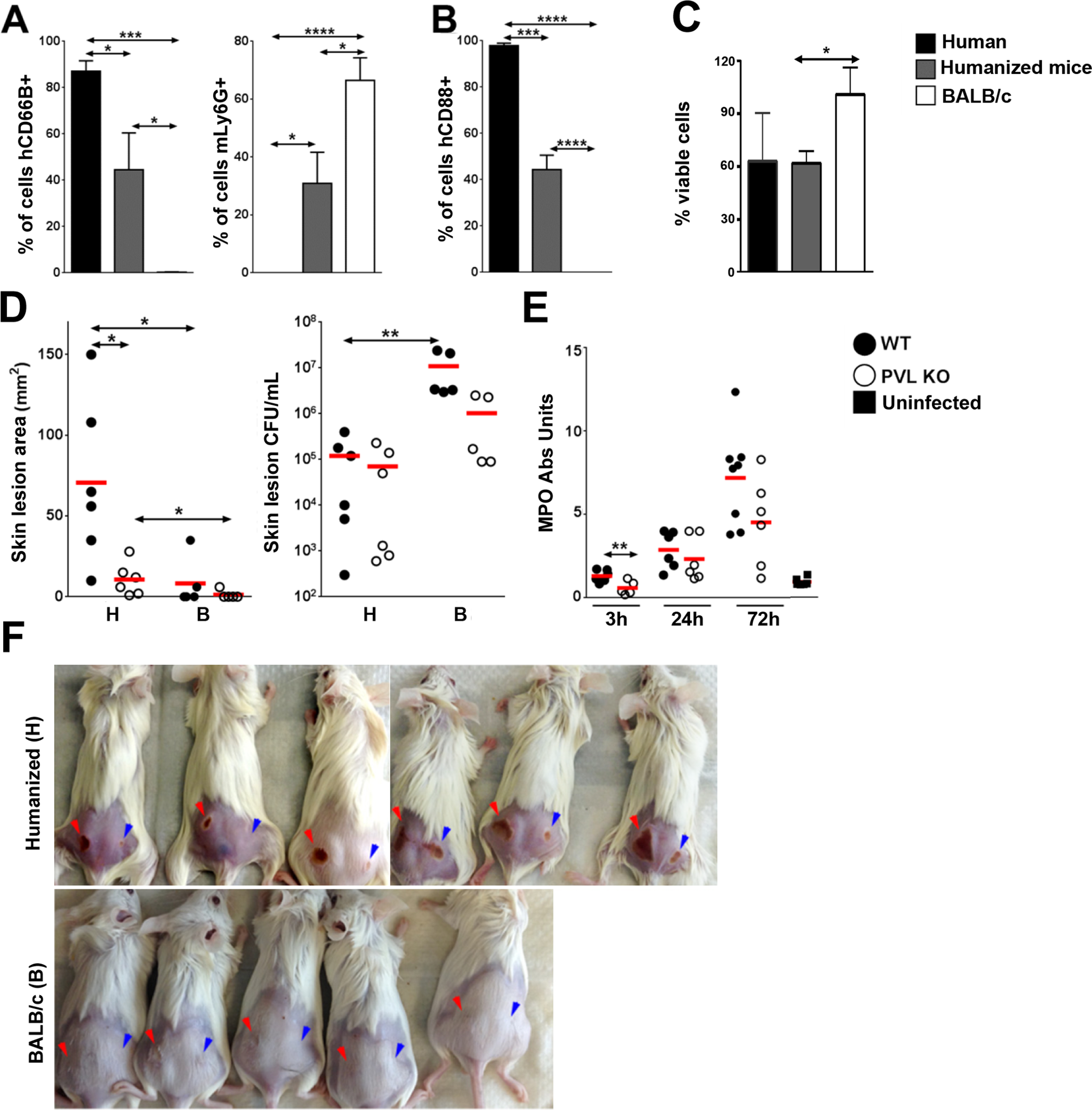 Humanized NSG mice are more susceptible to PVL-induced dermonecrosis.
