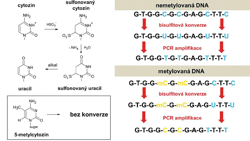 Základy bisulfitové konverze. A. Cytozin je při reakci s bisulfitem (hydrogensiřičitanem sodným) sulfonován, deaminován, a nakonec při zvýšeném pH desulfonován až na uracil, zatímco metylcytozin je nezměněn. B. Stejná primární sekvence DNA se po bisulfitové konverzi a PCR amplifikaci liší v závislosti na tom, zda byla původně metylována či nikoliv. Metylcytozin se amplifikuje jako cytozin, zatímco uracil jako tymin.
