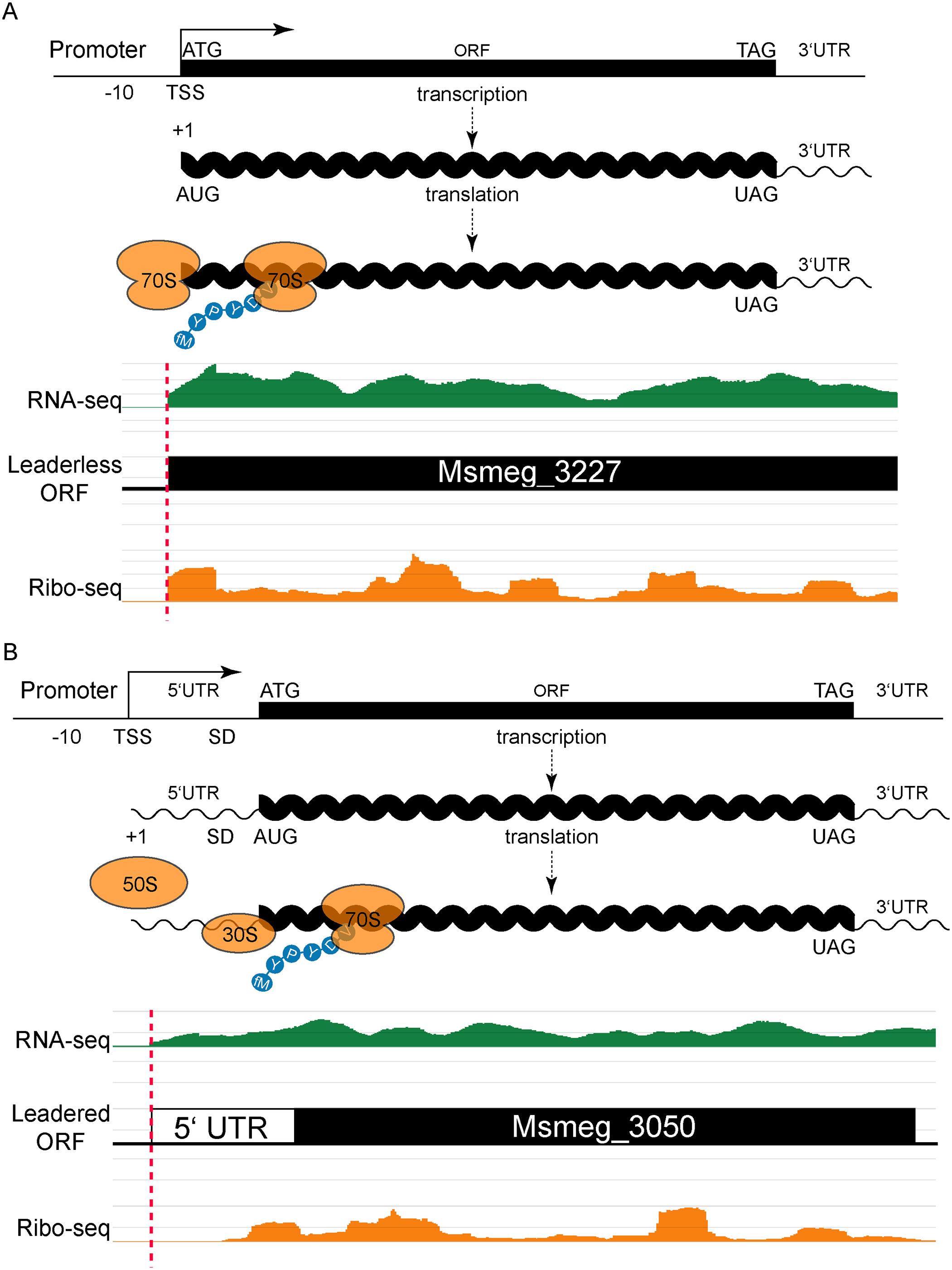 Leaderless and leadered genes produce distinct RNA-seq and ribosome profiling 5' boundaries.