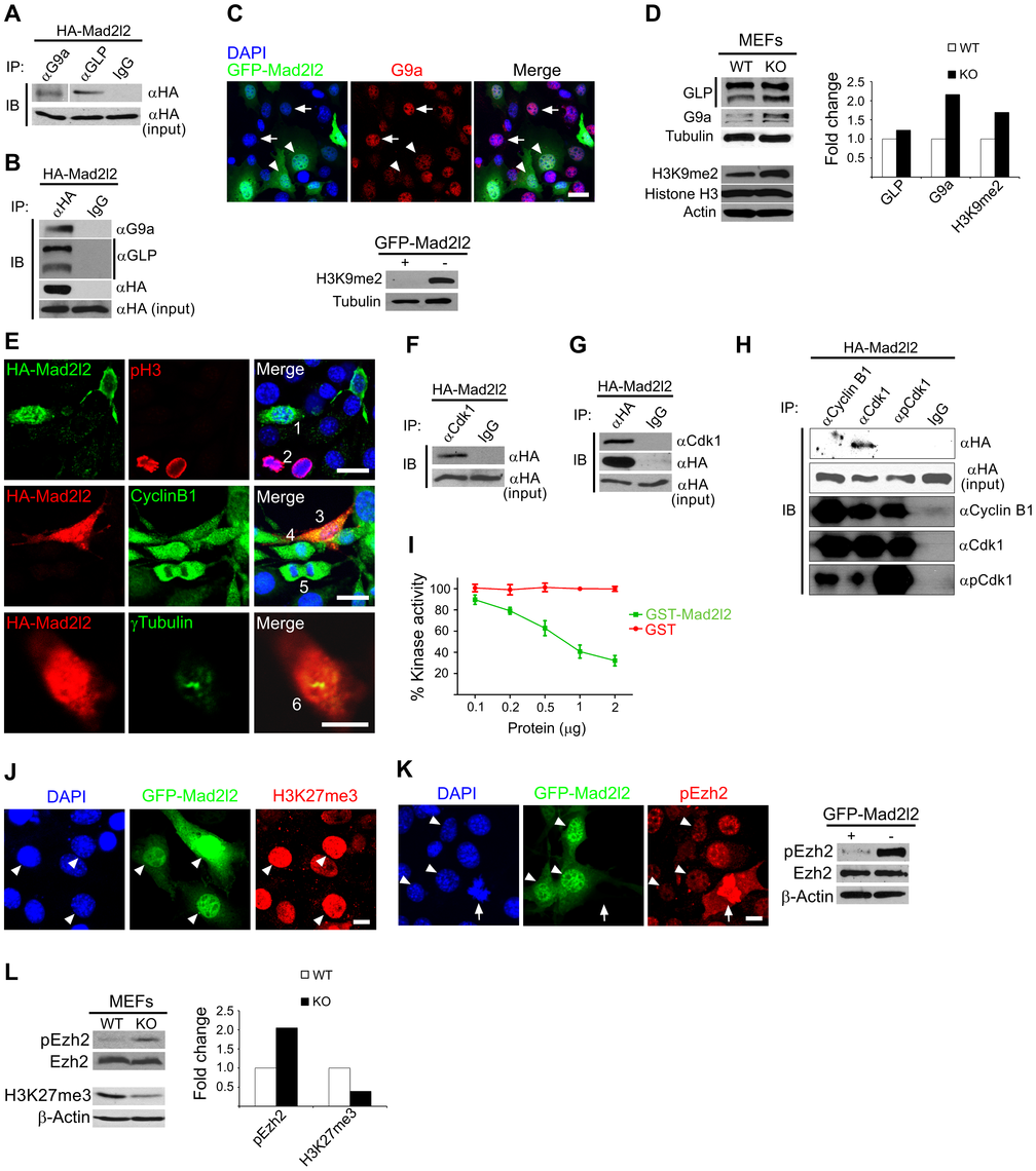 Analysis of Mad2l2 function in fibroblasts.