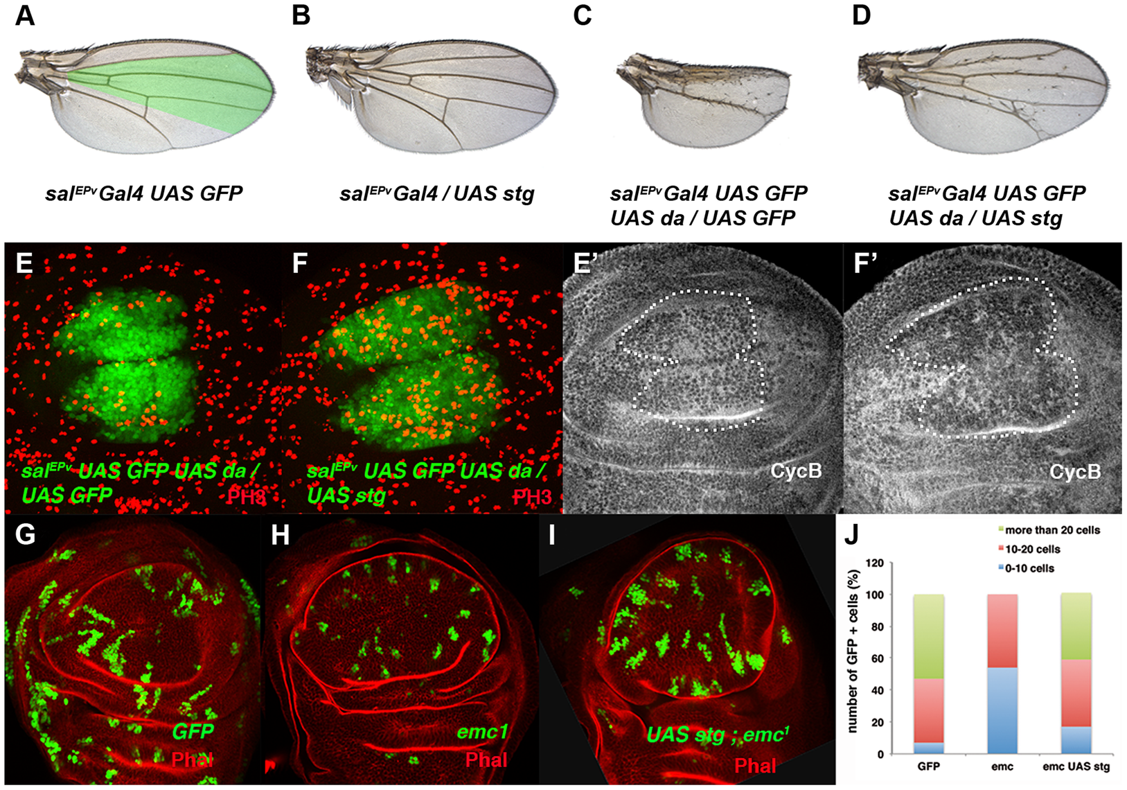 The ectopic expression of <i>string</i> is sufficient to restore the mitotic defects induced by the elimination of <i>emc</i> or the ectopic expression of <i>da</i>.