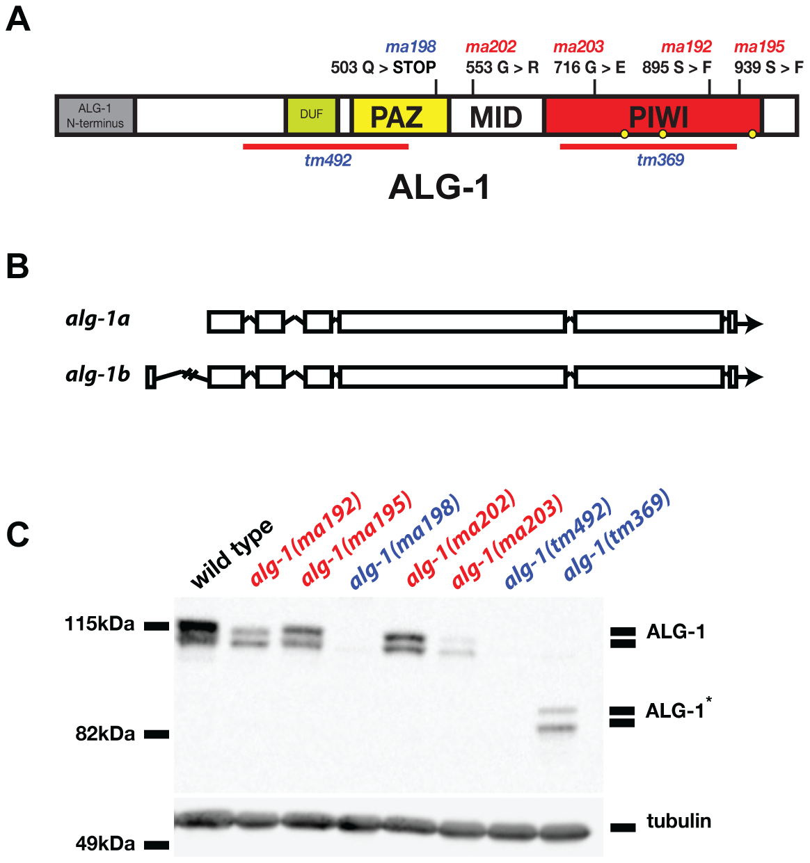 Four of five newly isolated <i>alg-1</i> alleles carry missense mutations.