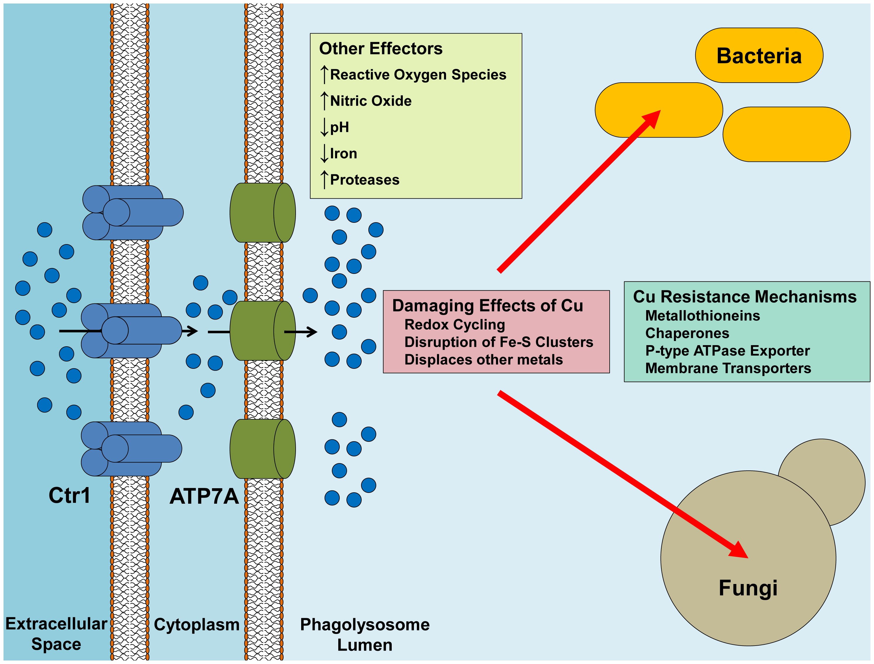 Delivery of Cu from the macrophage to the pathogen.