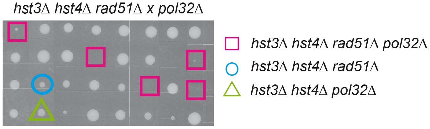 Inviability/synthetic growth defect of histone H3K56 deacetylation mutants in the absence of Rad51 and Pol32.