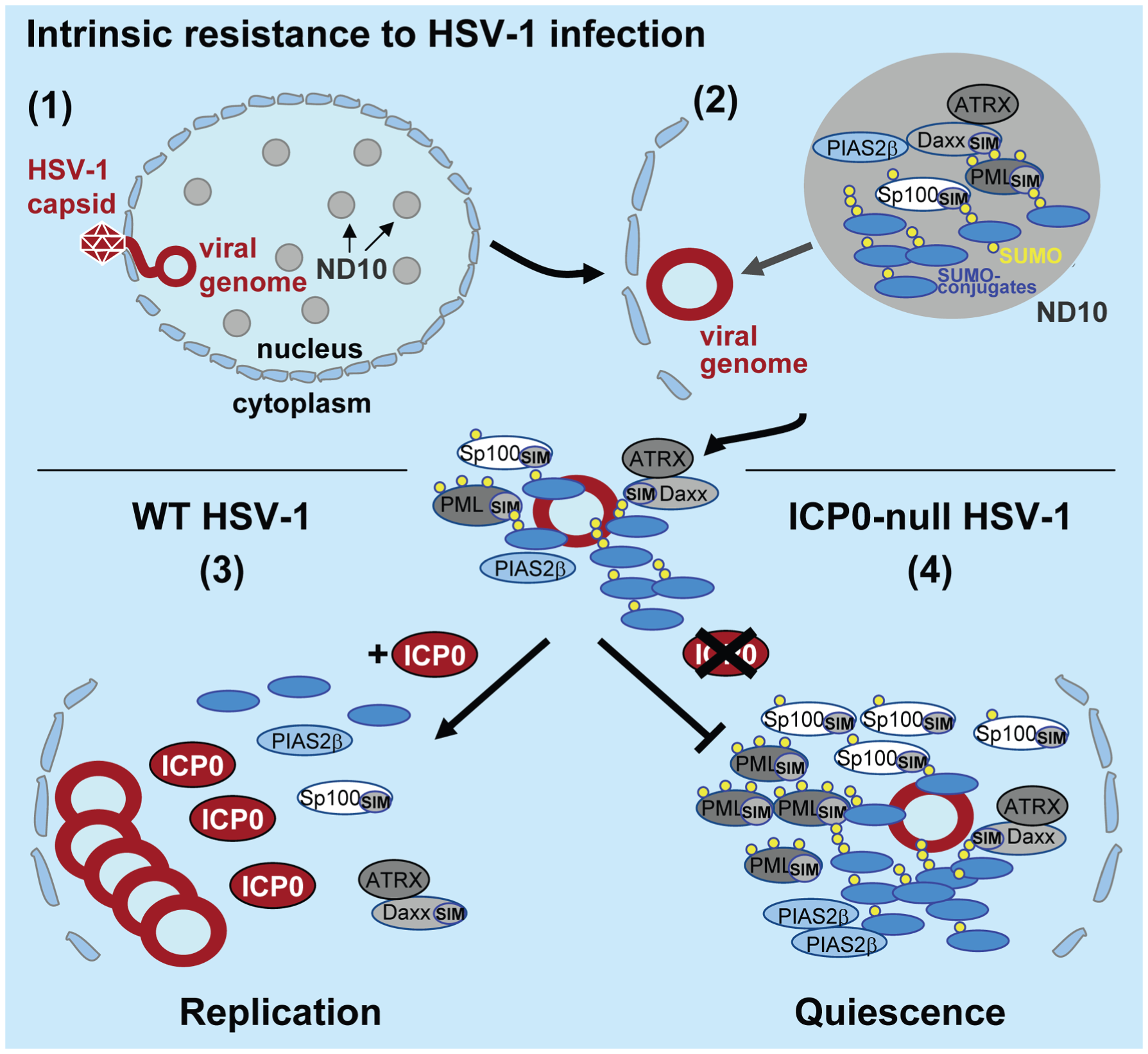 Model depicting the regulation of intrinsic antiviral resistance to HSV-1 infection mediated by the SUMO conjugation pathway.