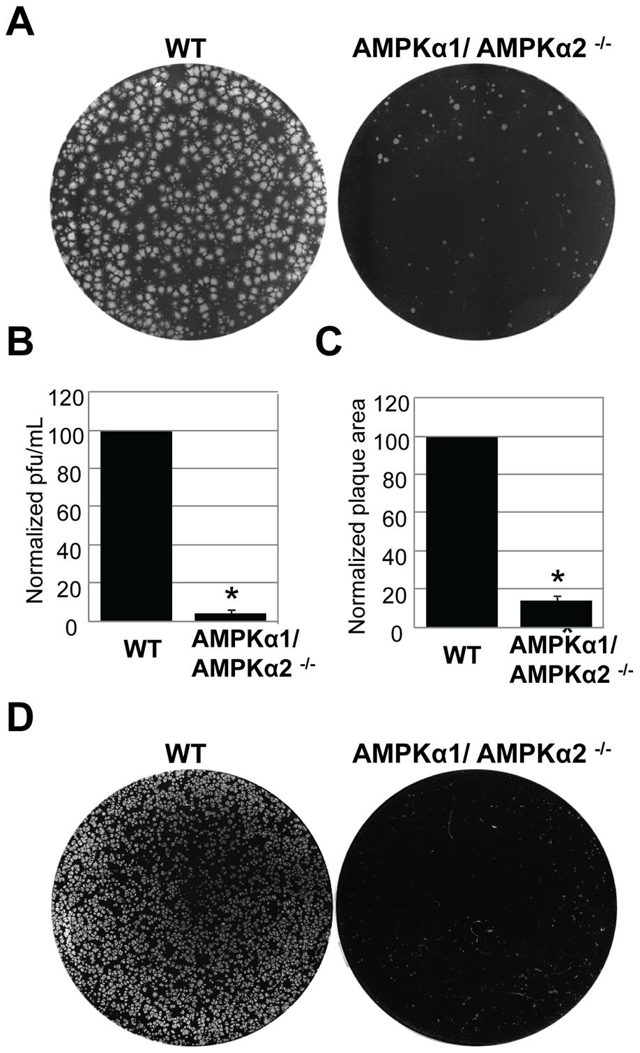 AMPKα promotes poxvirus infection in mammalian cells.