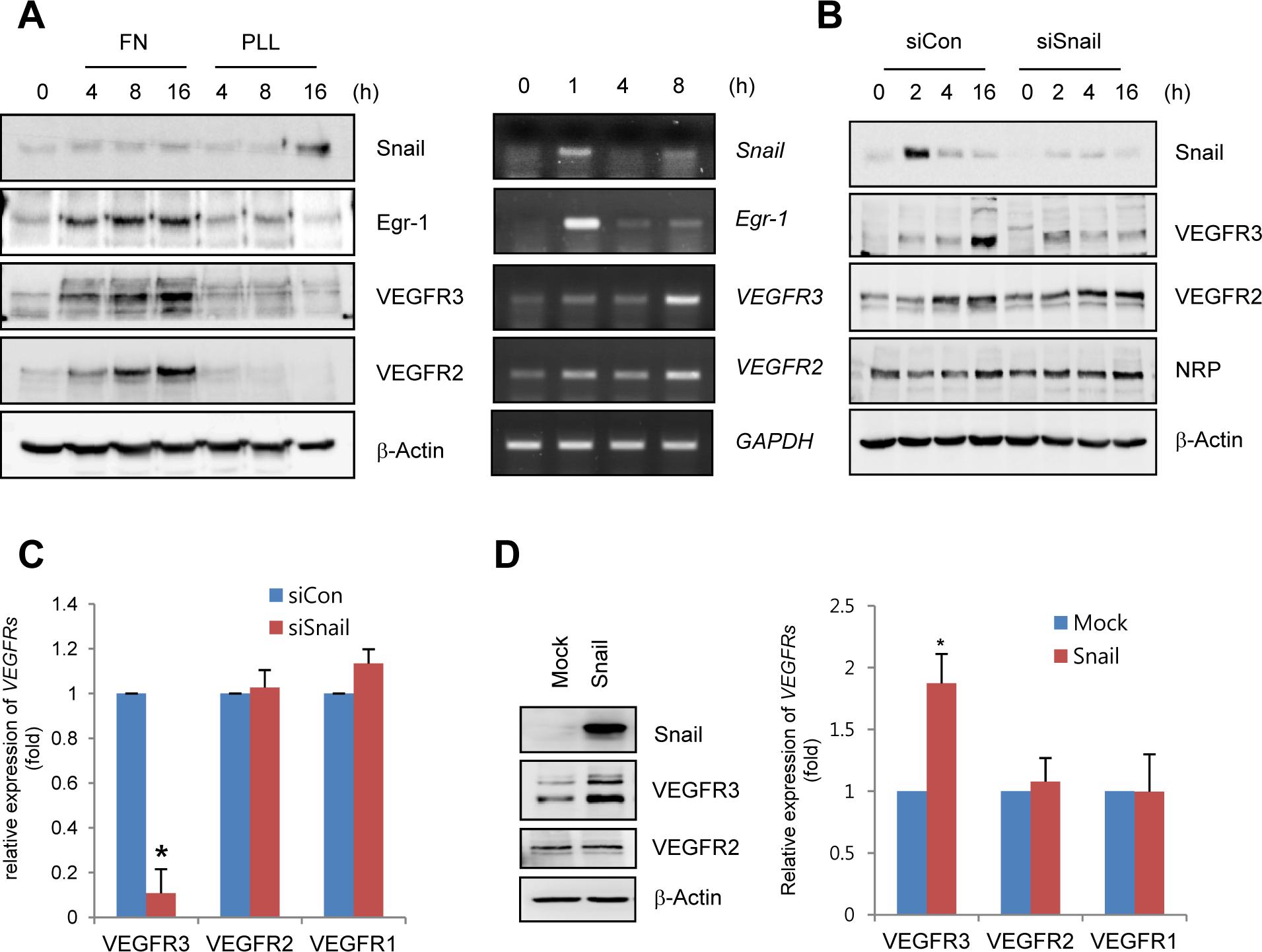 Snail upregulates VEGF receptor 3 (VEGFR3).