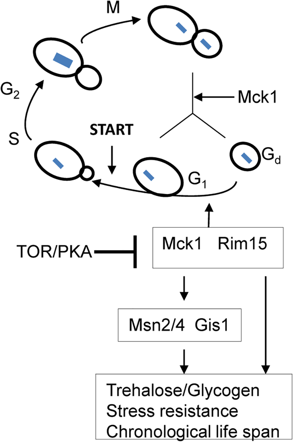 A model showing that transition-phase cell cycle, cell size and the acquisition of quiescence-related characteristics are coordinated by Mck1 and Rim15.