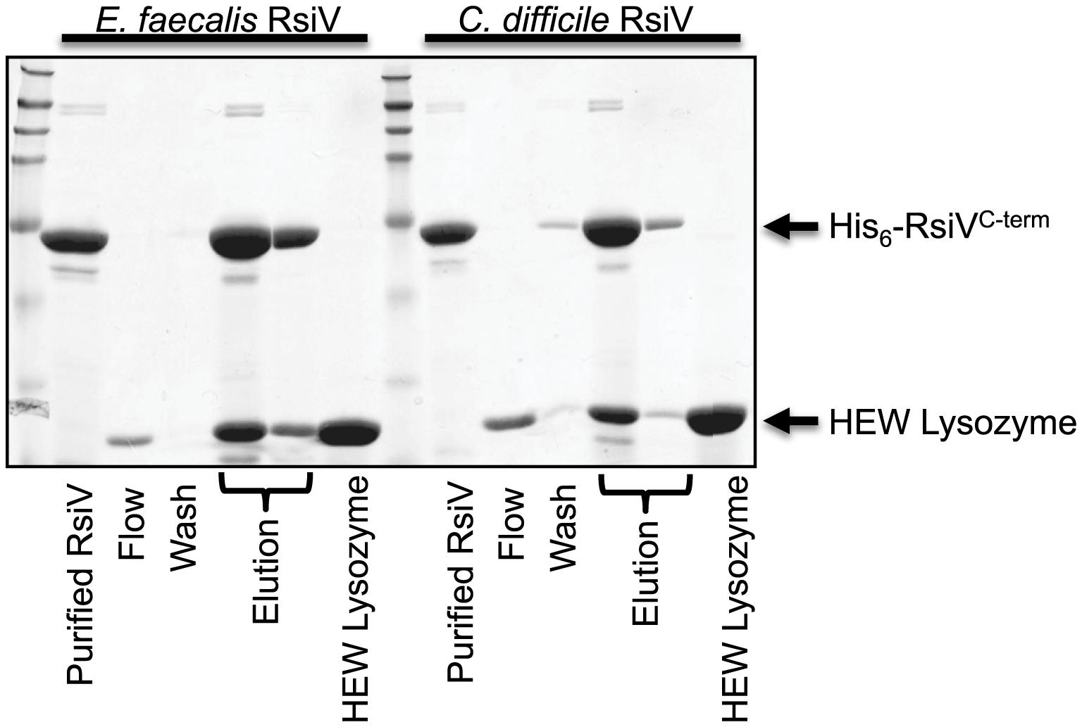 Extracellular domain of RsiV from <i>C. difficile</i> and <i>E. faecalis</i> RsiV bind lysozyme.