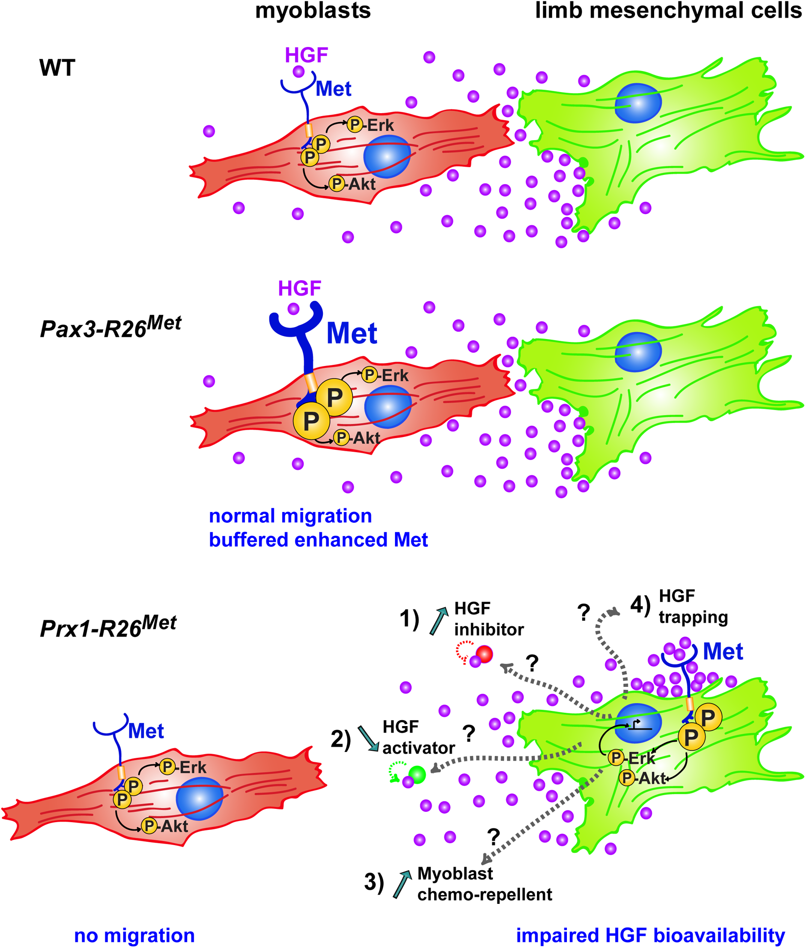 Schematic representation summarizing the different molecular and phenotypic effects of enhanced Met expression in myoblasts and limb mesenchymal cells.