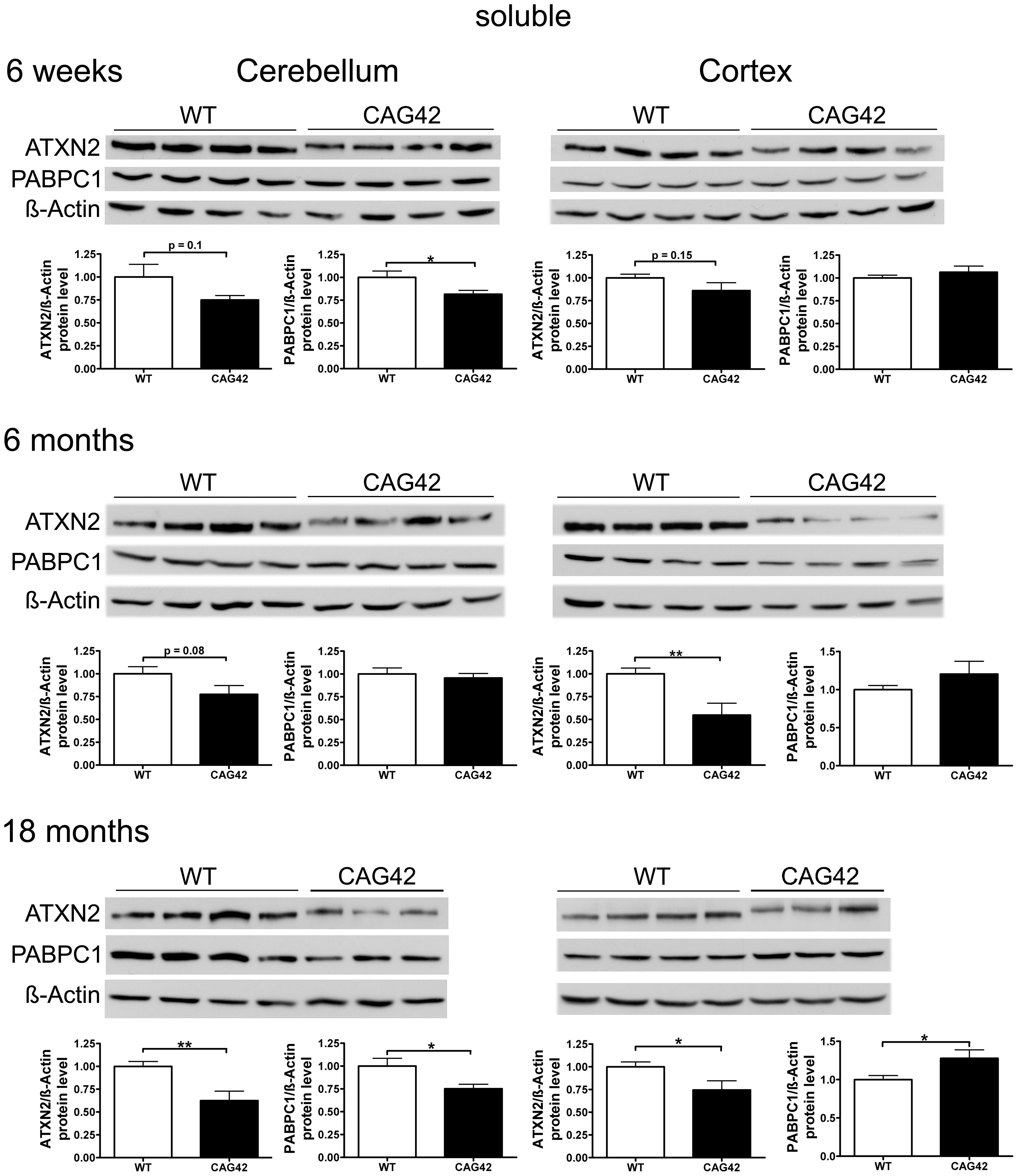 Soluble ATXN2 protein levels are reduced and PABPC1 levels change.