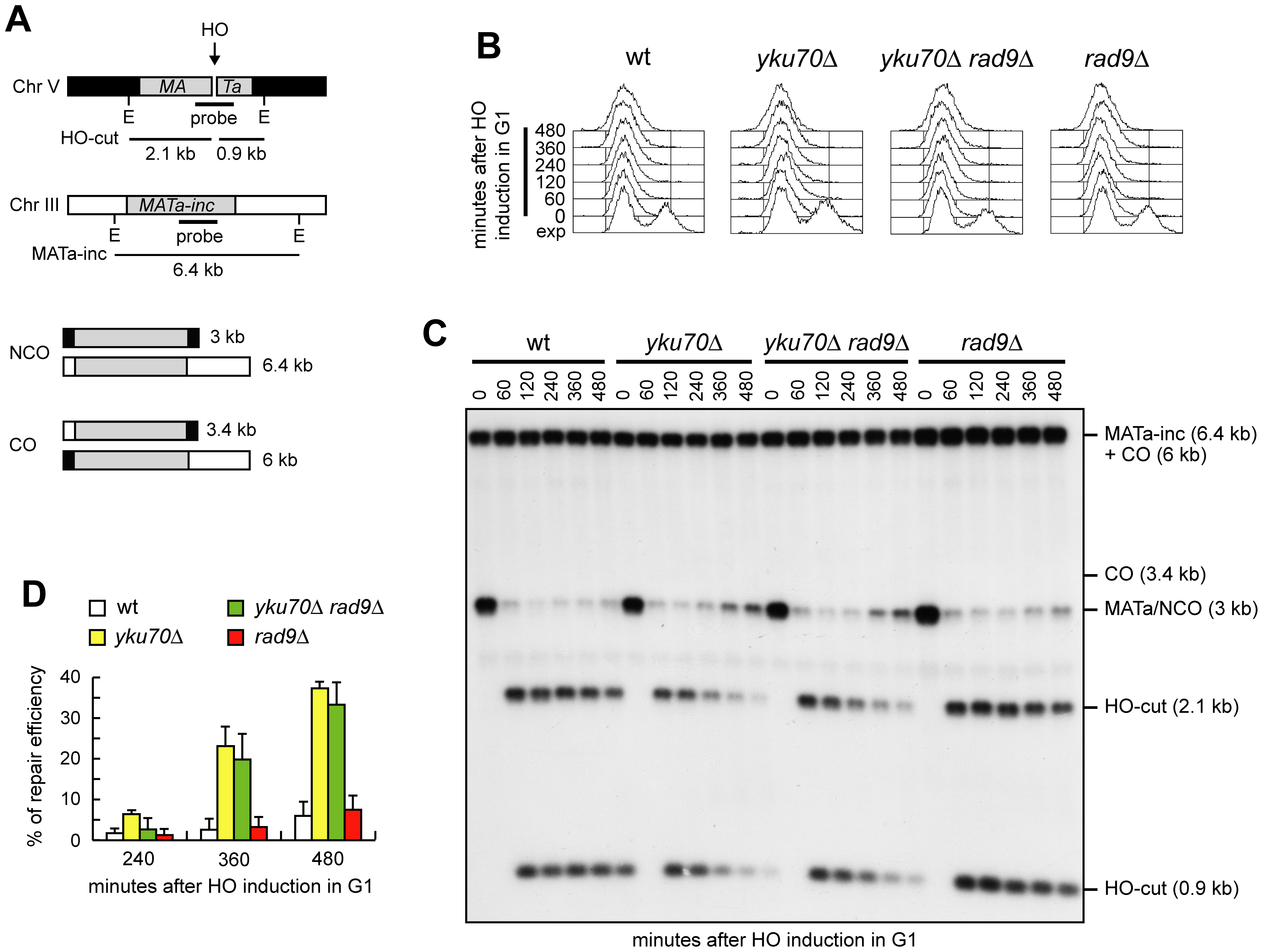 Generation of ssDNA bypasses Cdk1 requirement for noncrossover recombination.