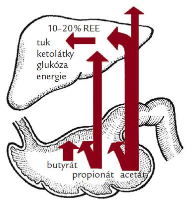 Podíl krátkých mastných kyselin na výživě sliznice tlustého střeva a celkové energetické bilanci (REE – klidová energetická potřeba).
