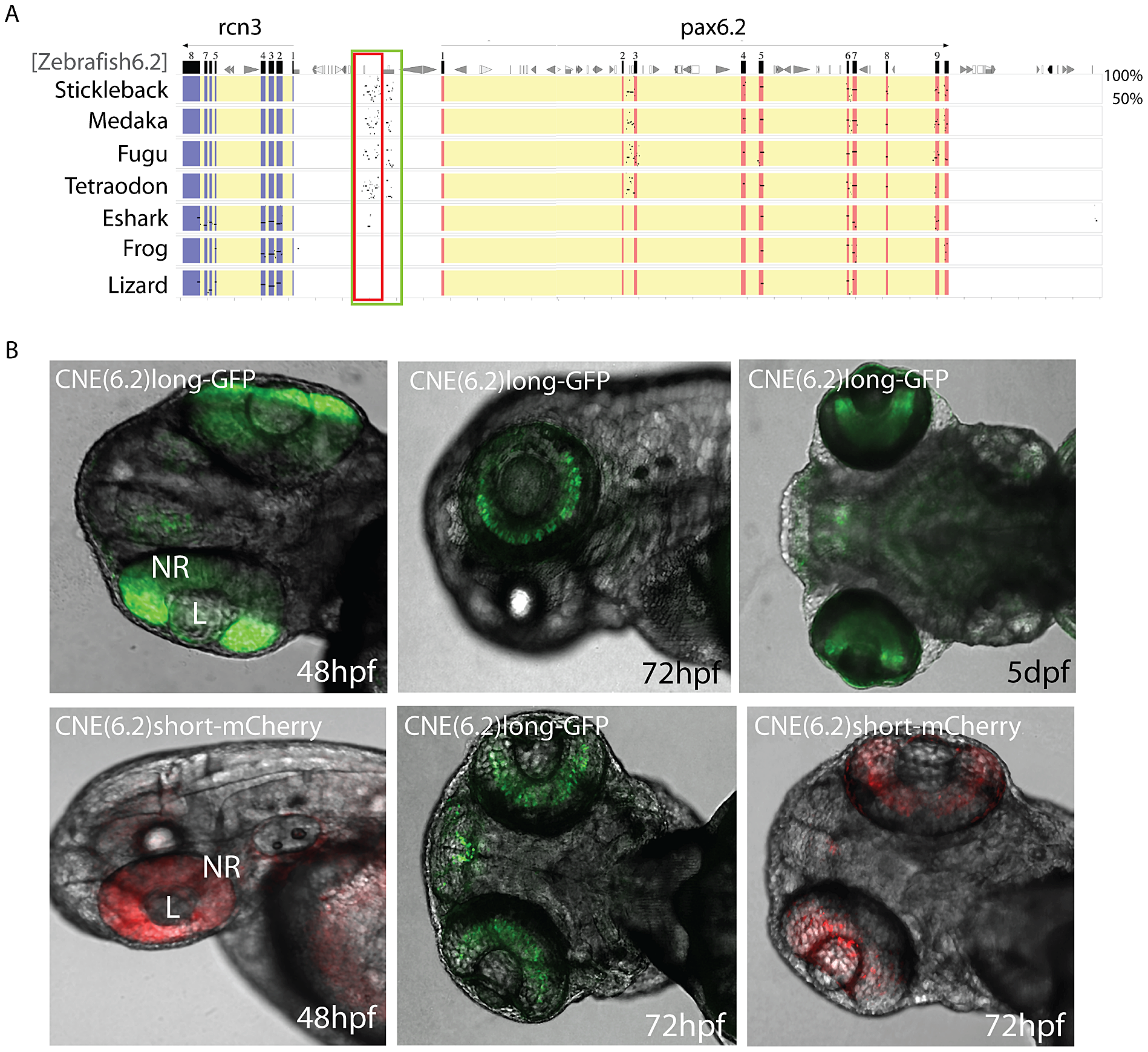 Identification of a novel enhancer specific for the inner nuclear layer of zebrafish retina.