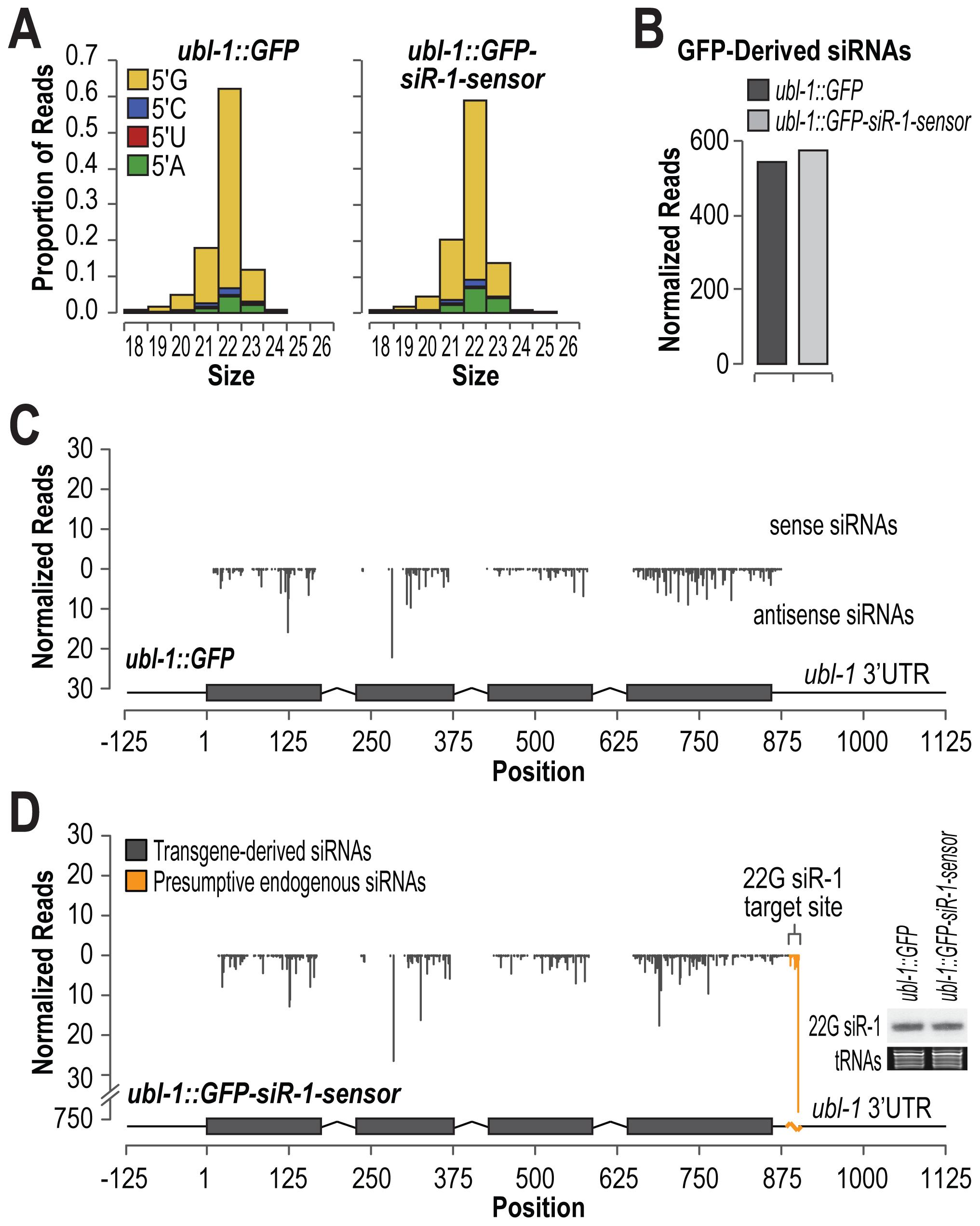 Small RNA formation from control and siRNA sensor transgenes.