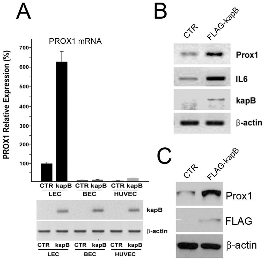 Kaposin-B upregulates PROX1 in primary lymphatic endothelial cells.