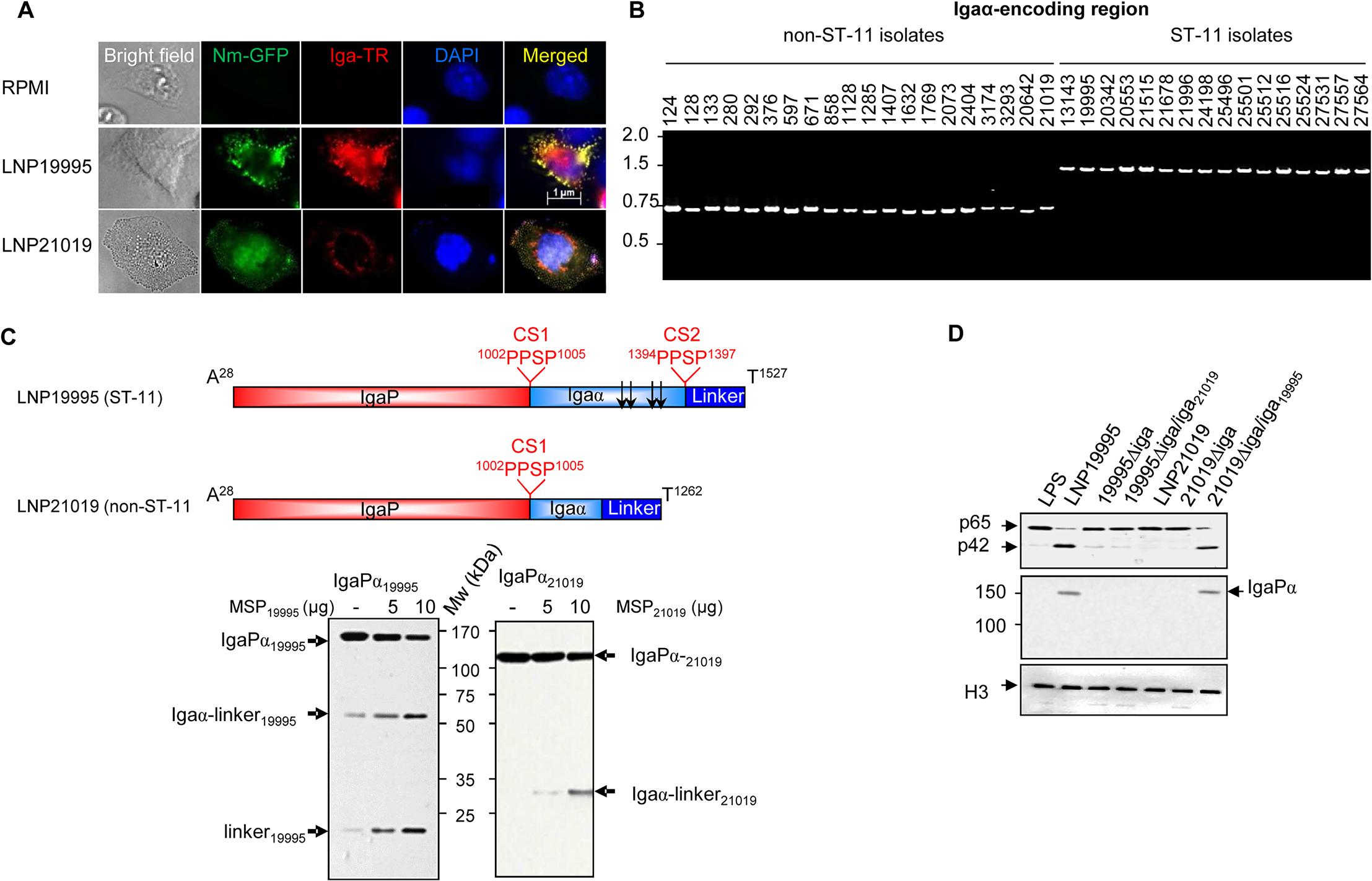 Non-ST-11 isolates release α-peptide-lacking IgA protease.