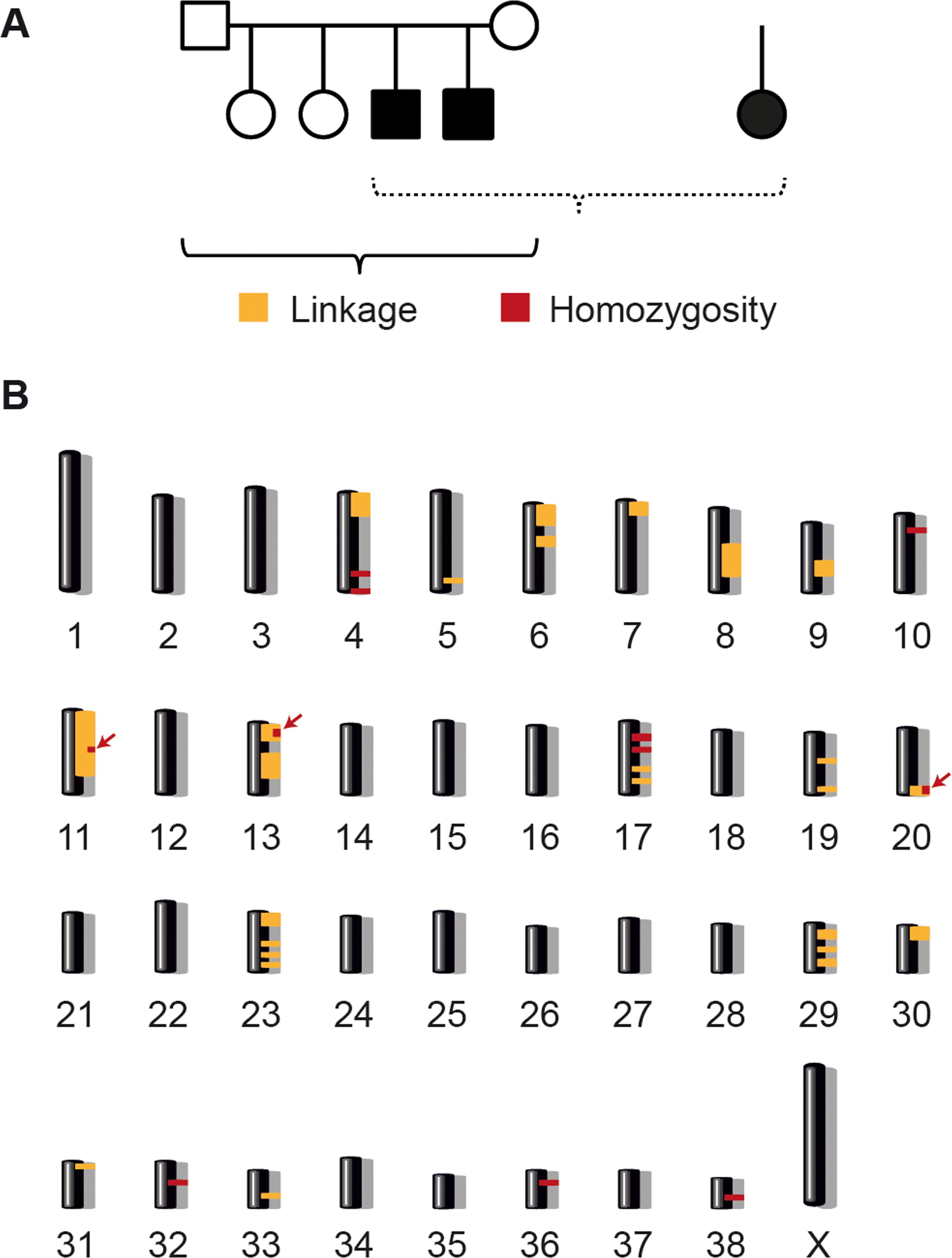 Linkage analysis and homozygosity mapping.