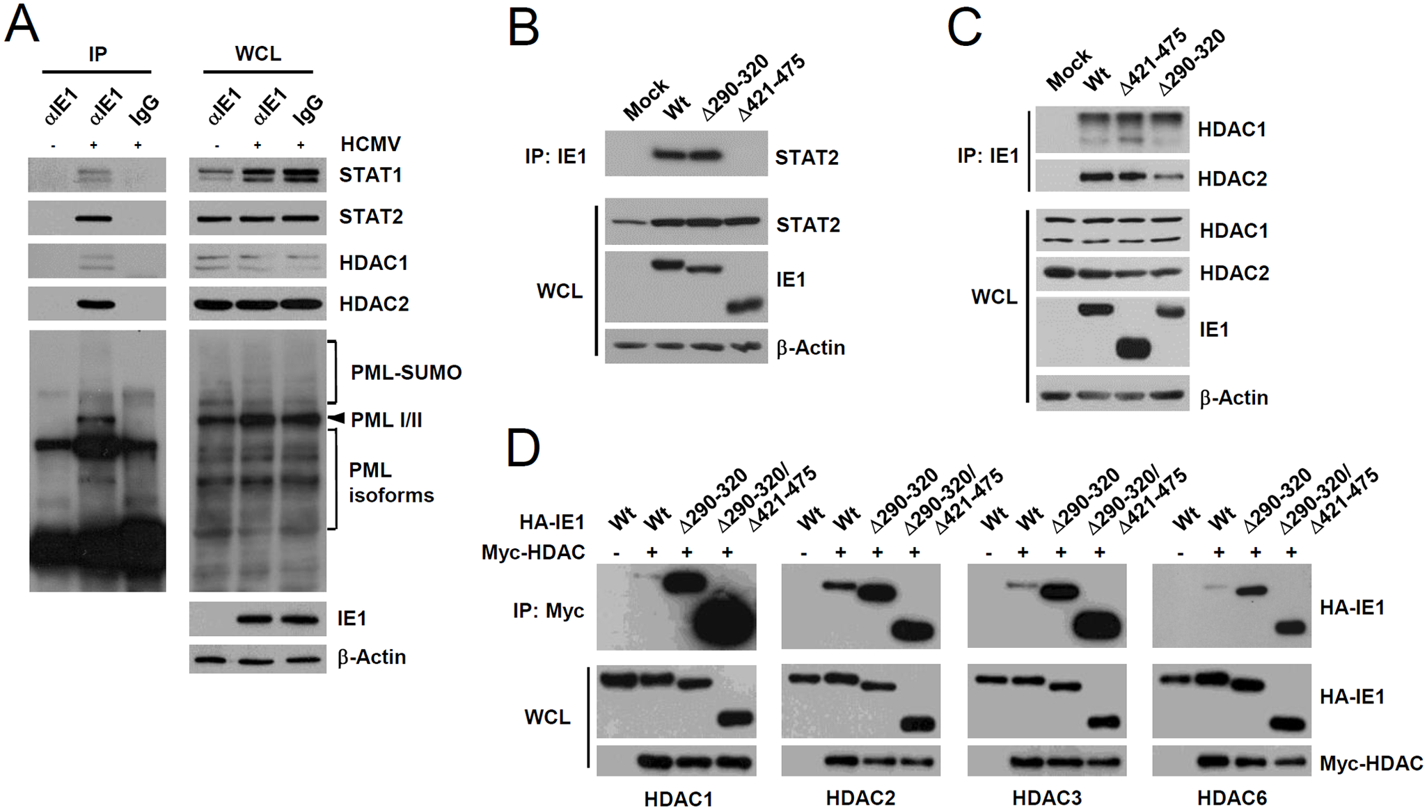 Association of IE1 with STAT1, STAT2, HDAC1, HDAC2, and PML during infection and the binding of IE1(Δ290–320) with STAT2 and HDACs.