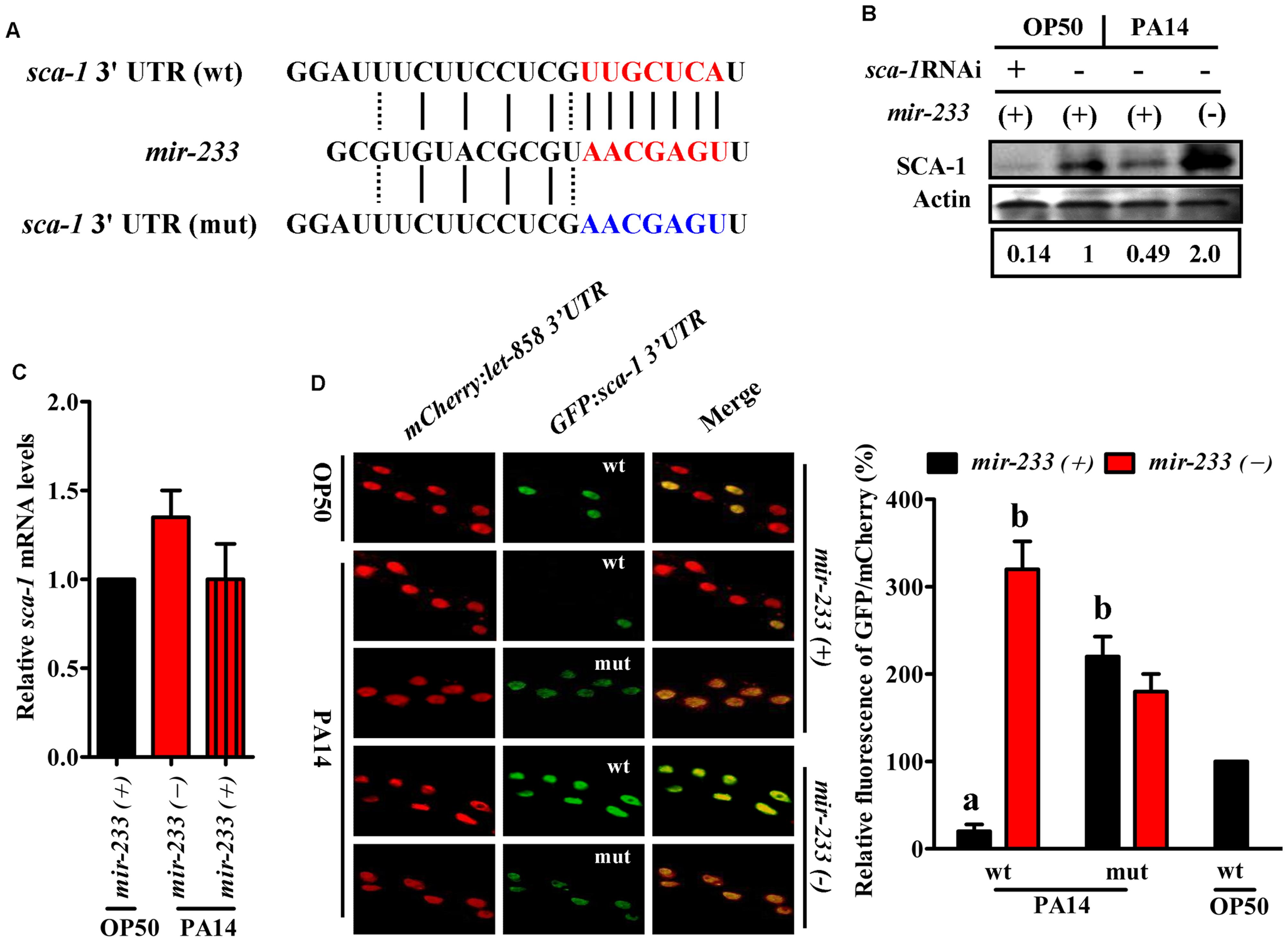<i>sca-1</i> is a target gene of <i>mir-233</i>.